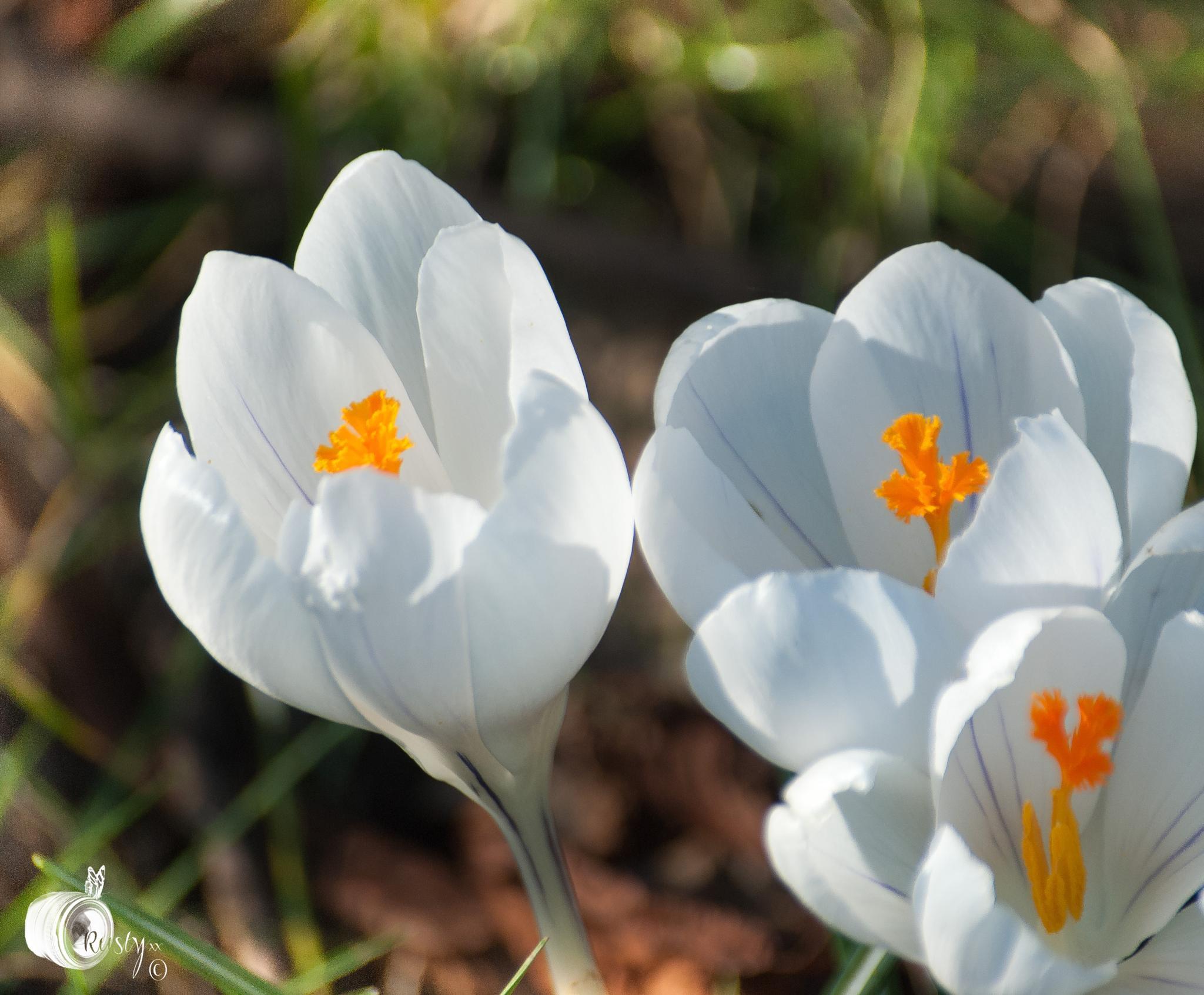 Three white crocus. by NatureGirl