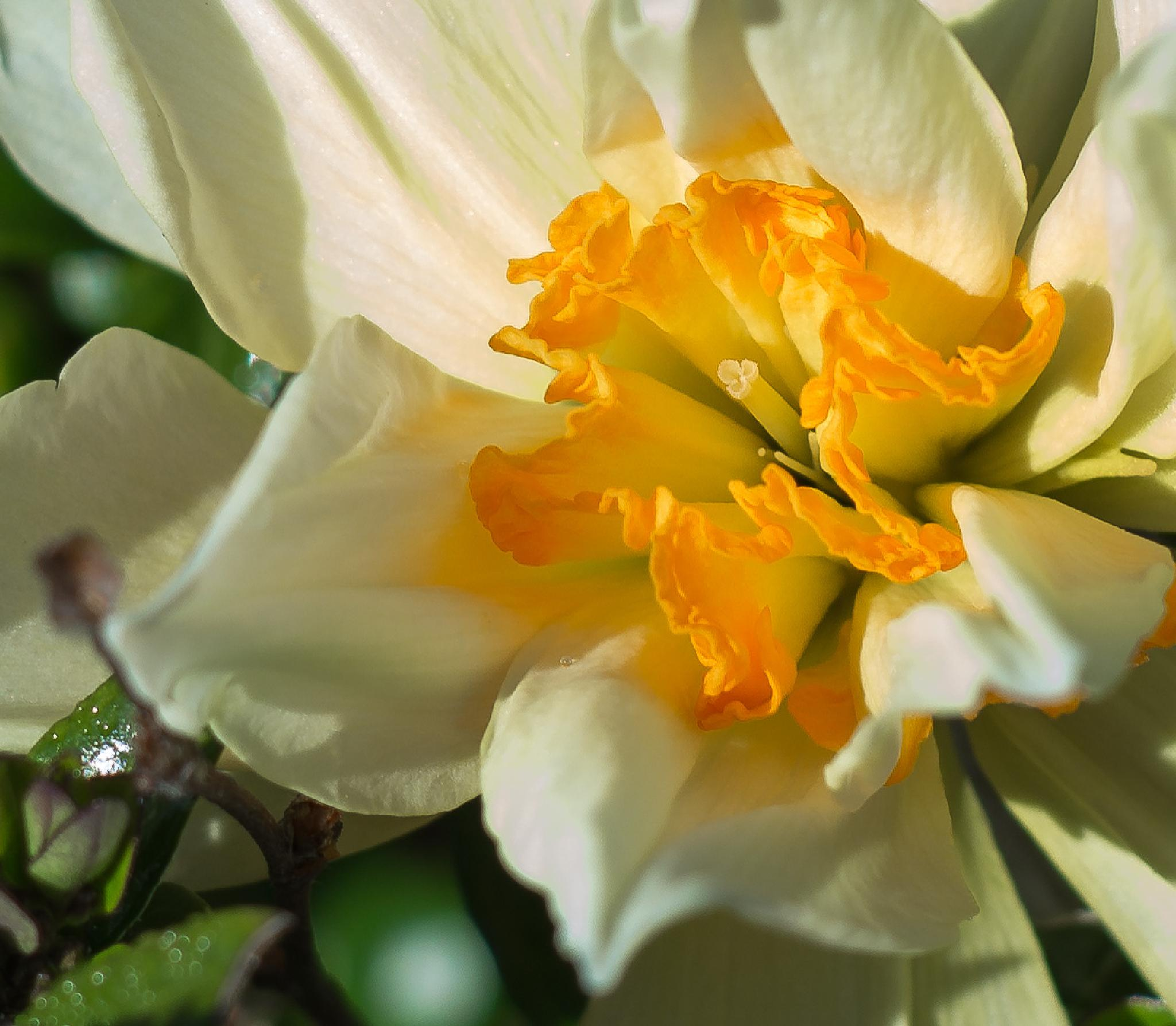 Photo in Nature #nature #helios #lens #daffodil #spring #flower