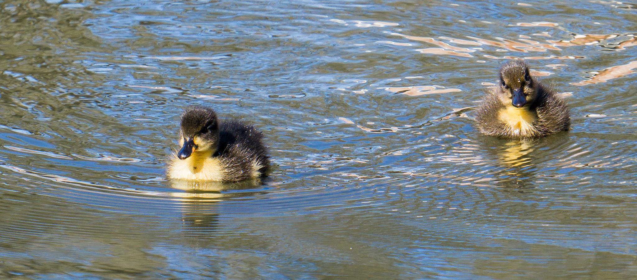 New ducklings. by NatureGirl