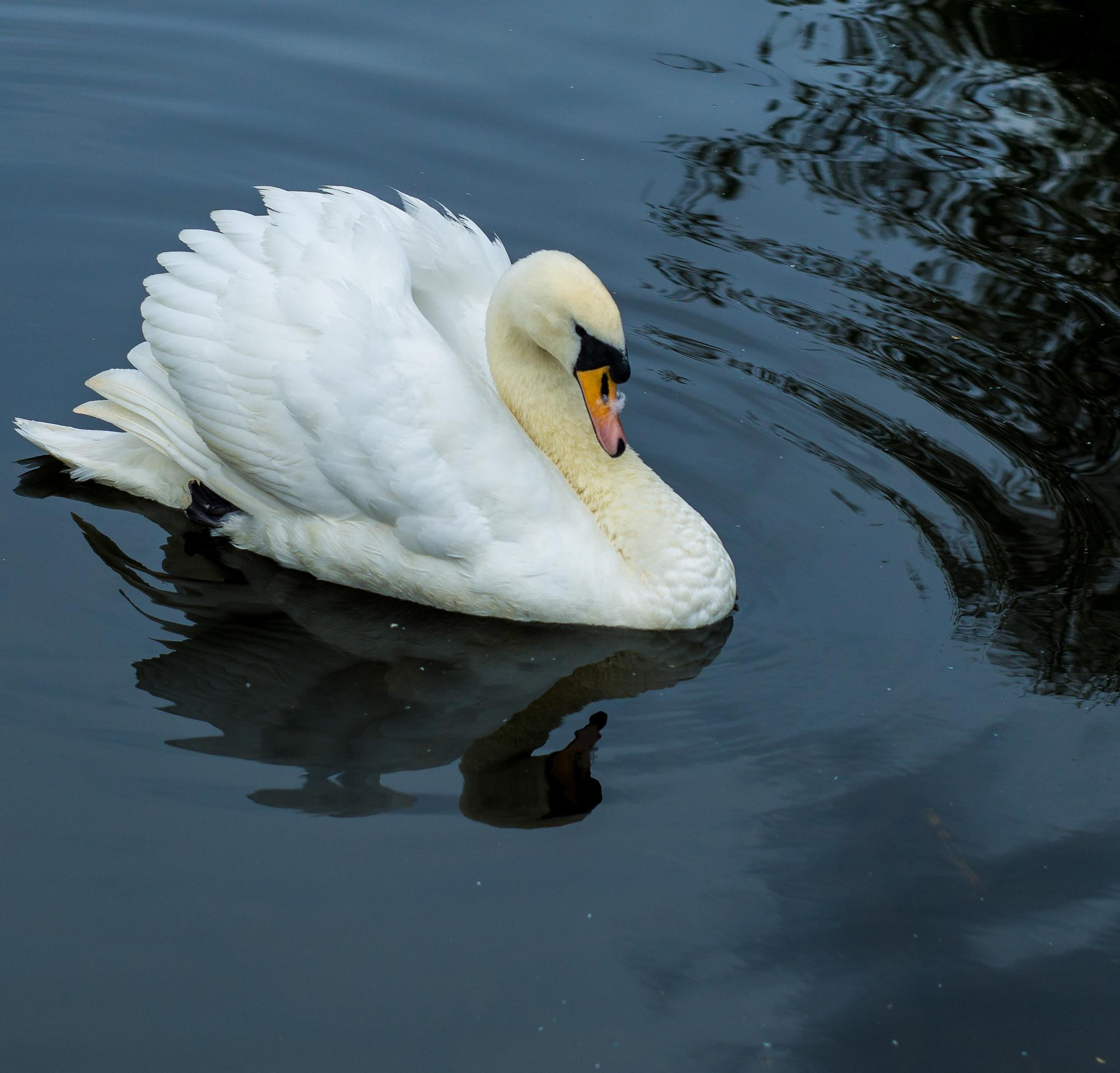 Swan on a canal. by NatureGirl