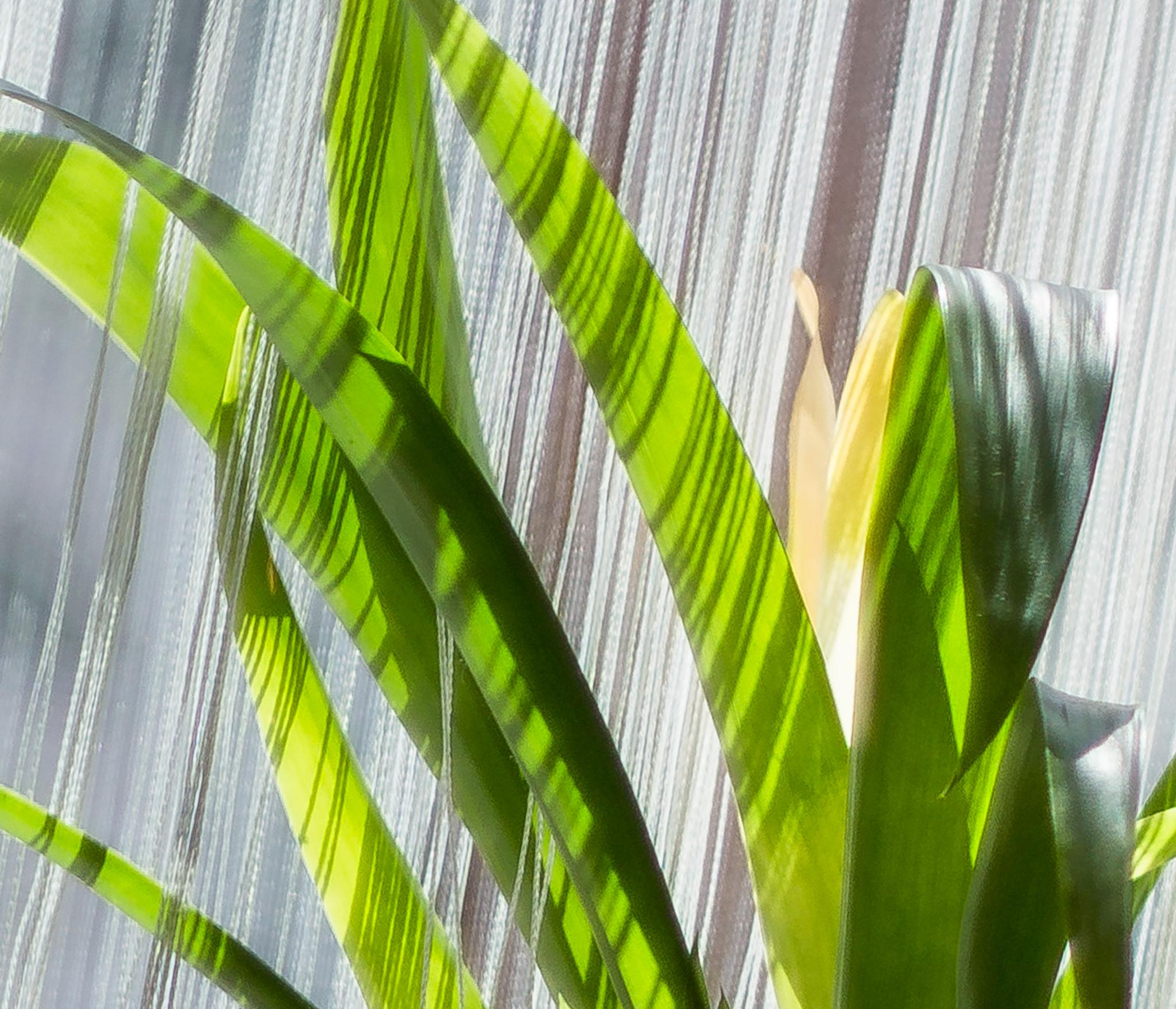 Photo in Abstract #plant #leaves #light #stripes #sonya6000 #abstract