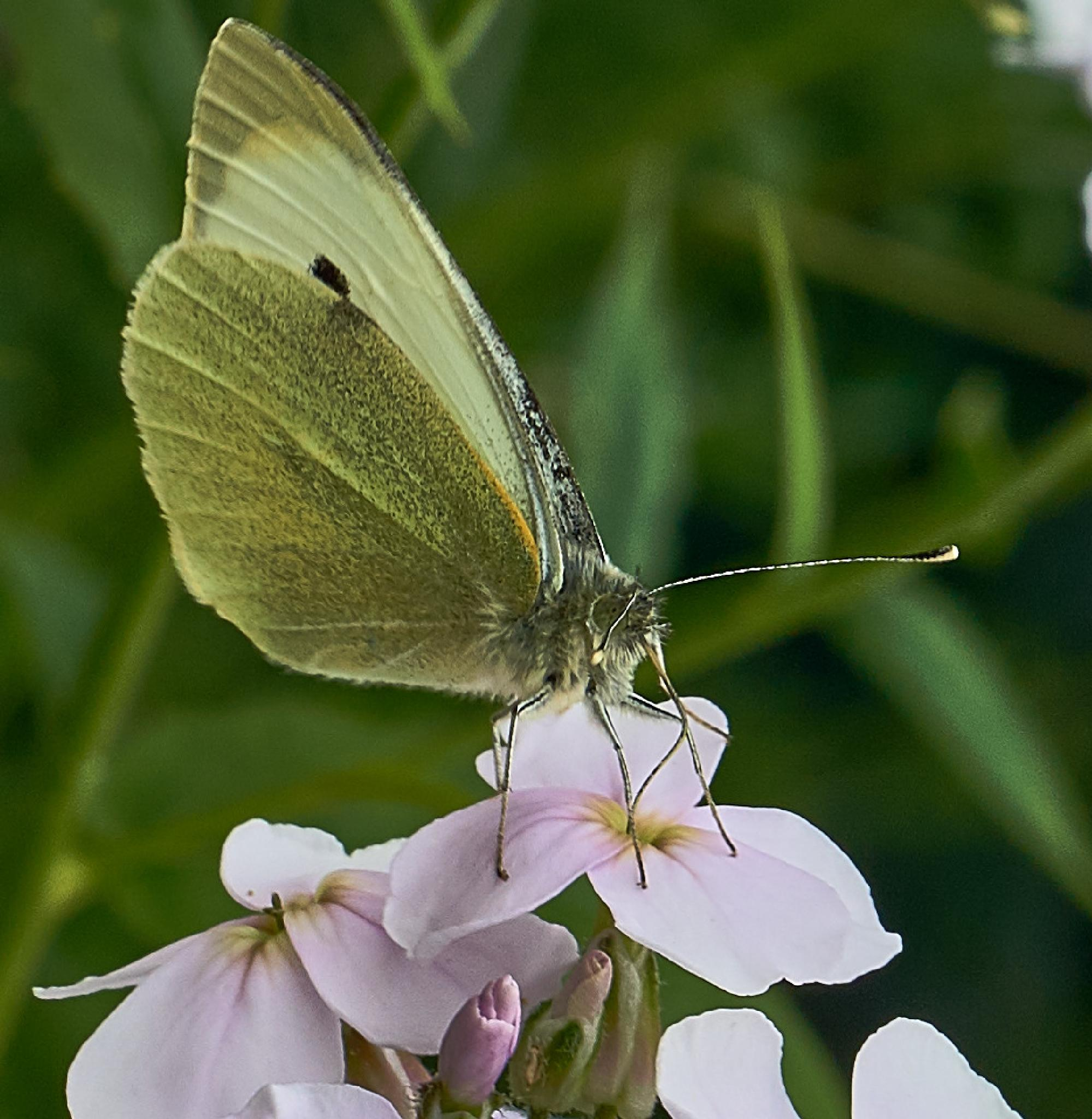 Common cabbage white butterfly. by NatureGirl