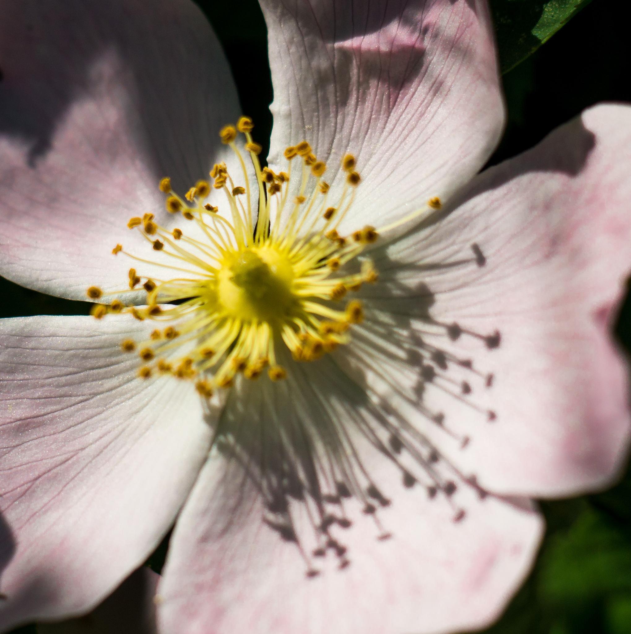 Where the wild roses grow. by NatureGirl