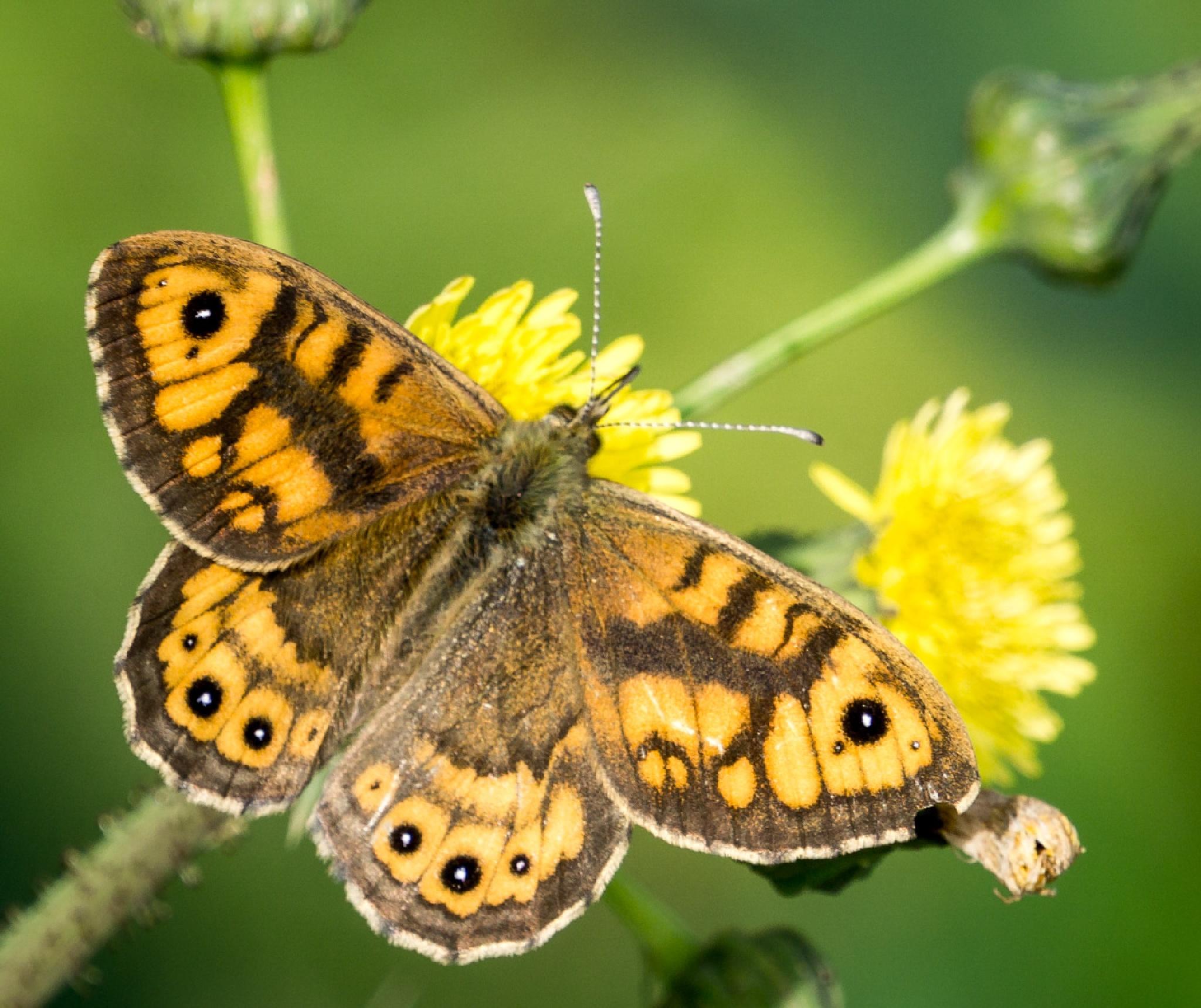 Beautiful butterfly. by NatureGirl