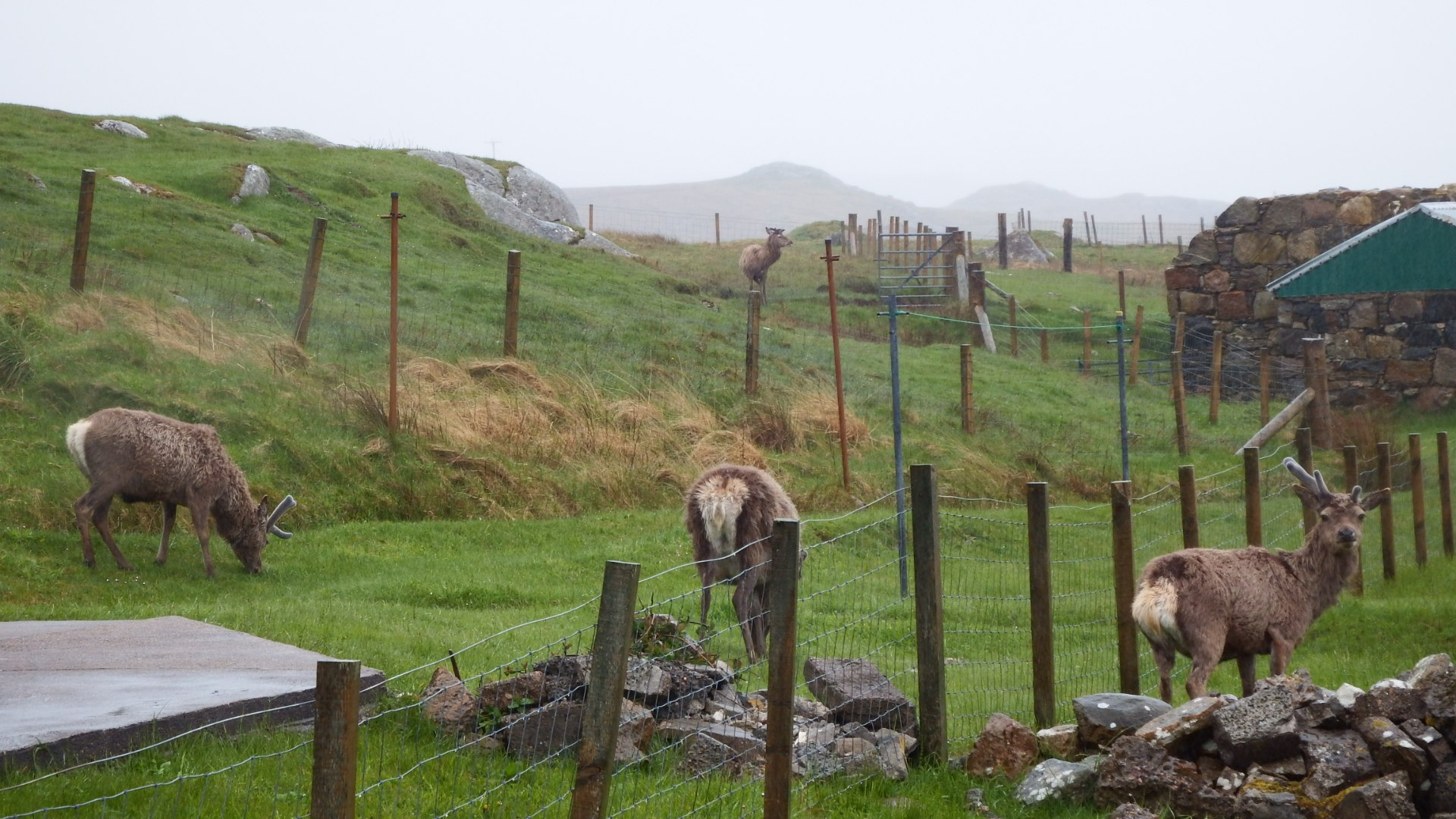 deer in garden baile na cille uig by kenneth campbell