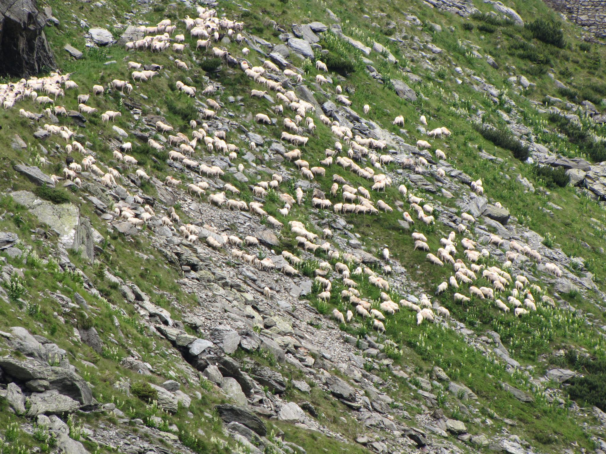 Sheep breeding in Fagaras Mountains RO by sorin.bumbu.54
