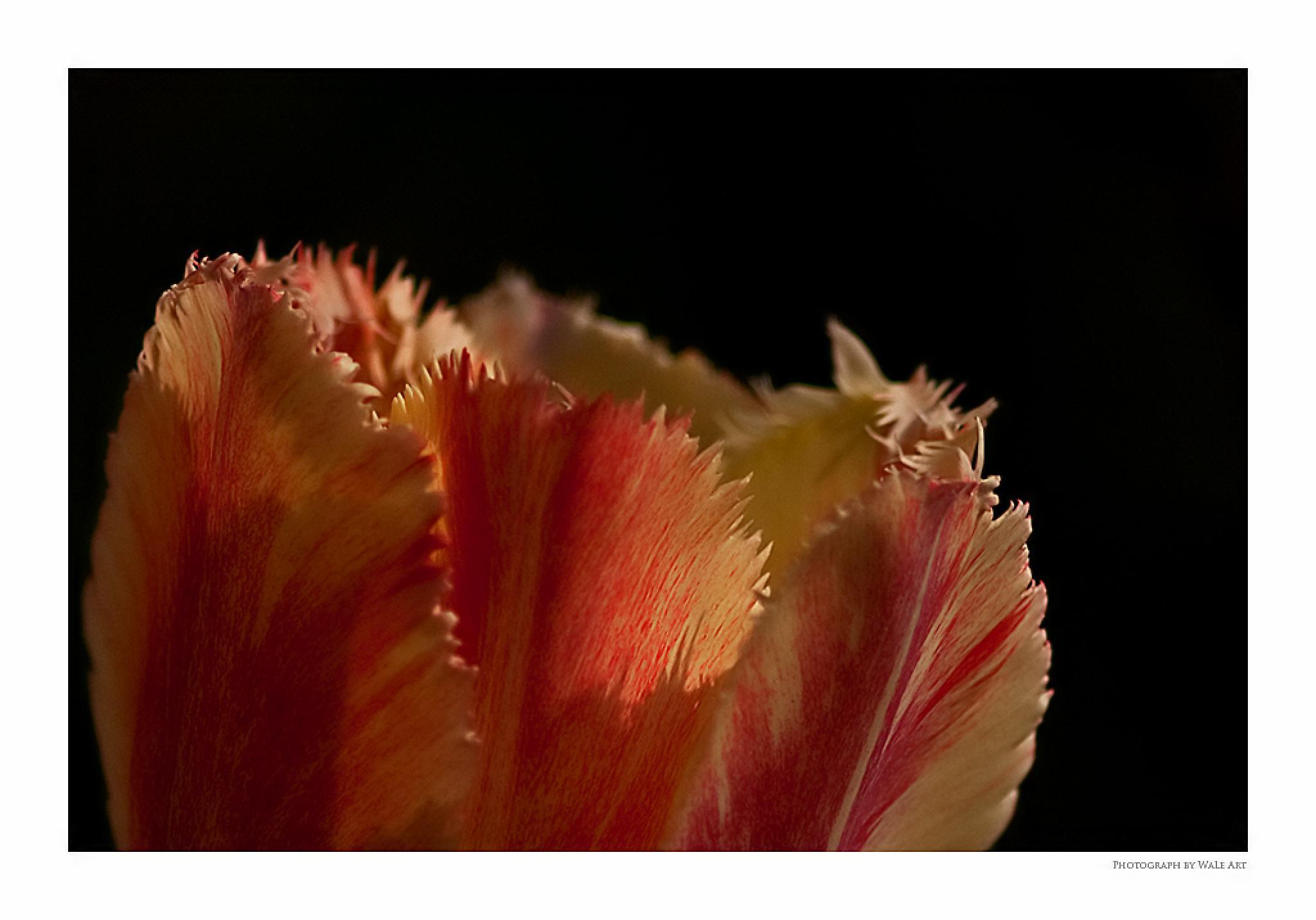 Tulip by Leo Walter