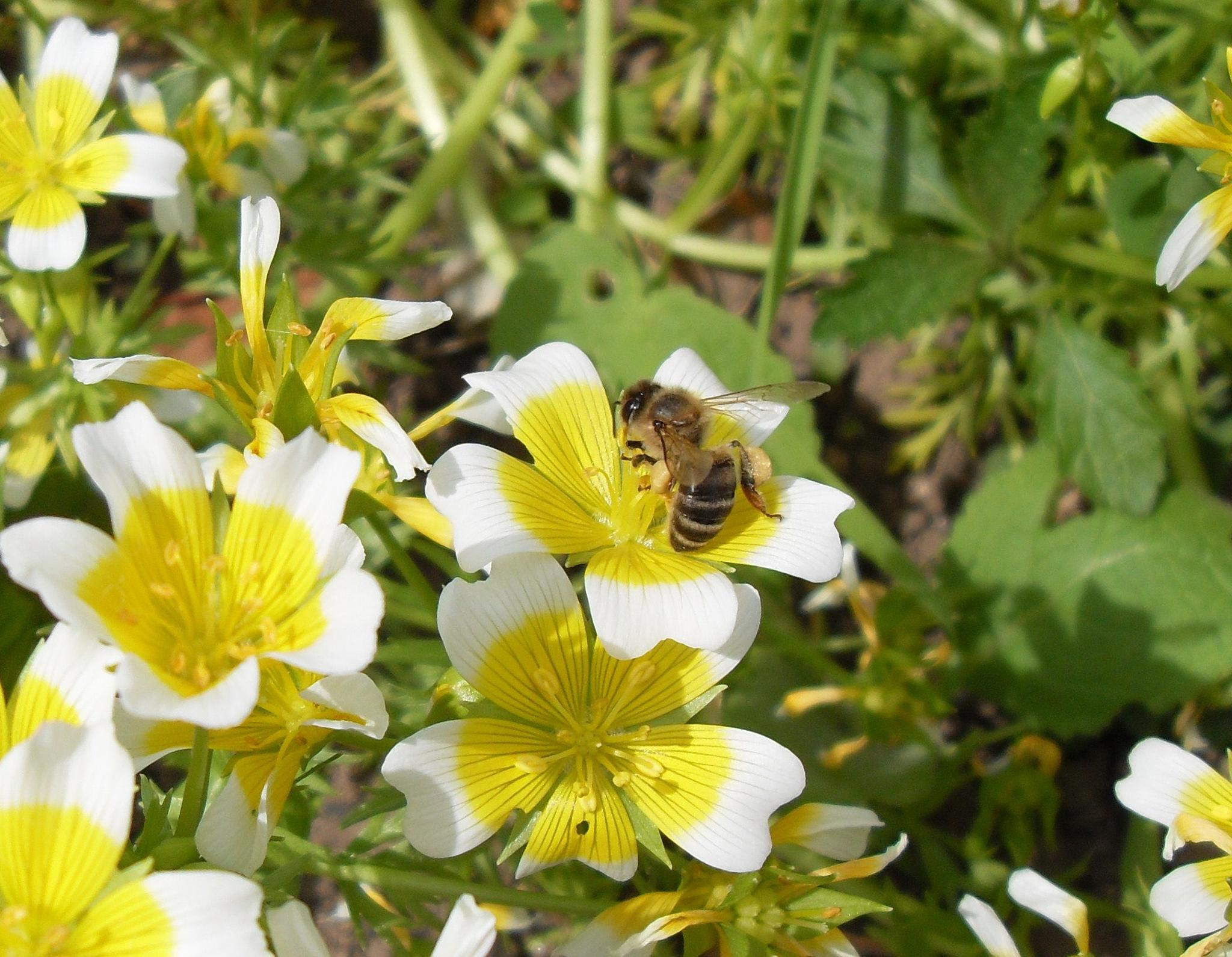 Honeybee by karen.martin.16100