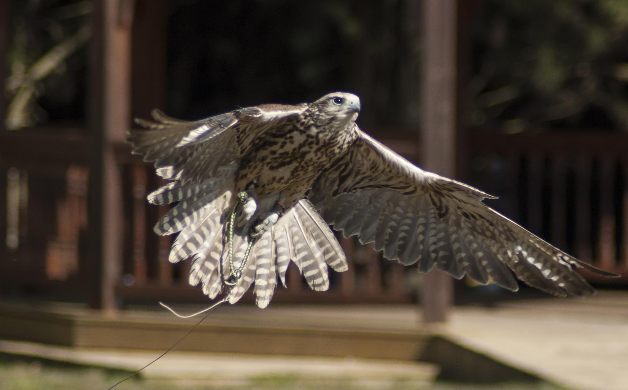 Saher Falcon by paul.spencer.39395
