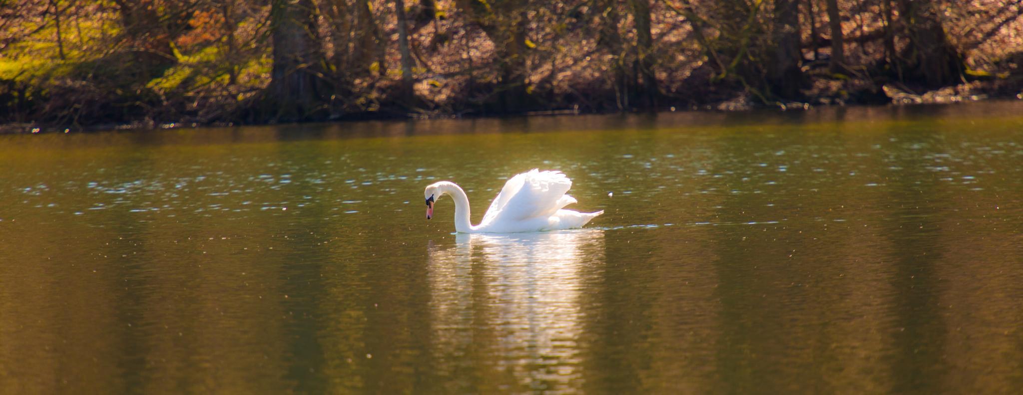 Swan lake by knud erik simonsen