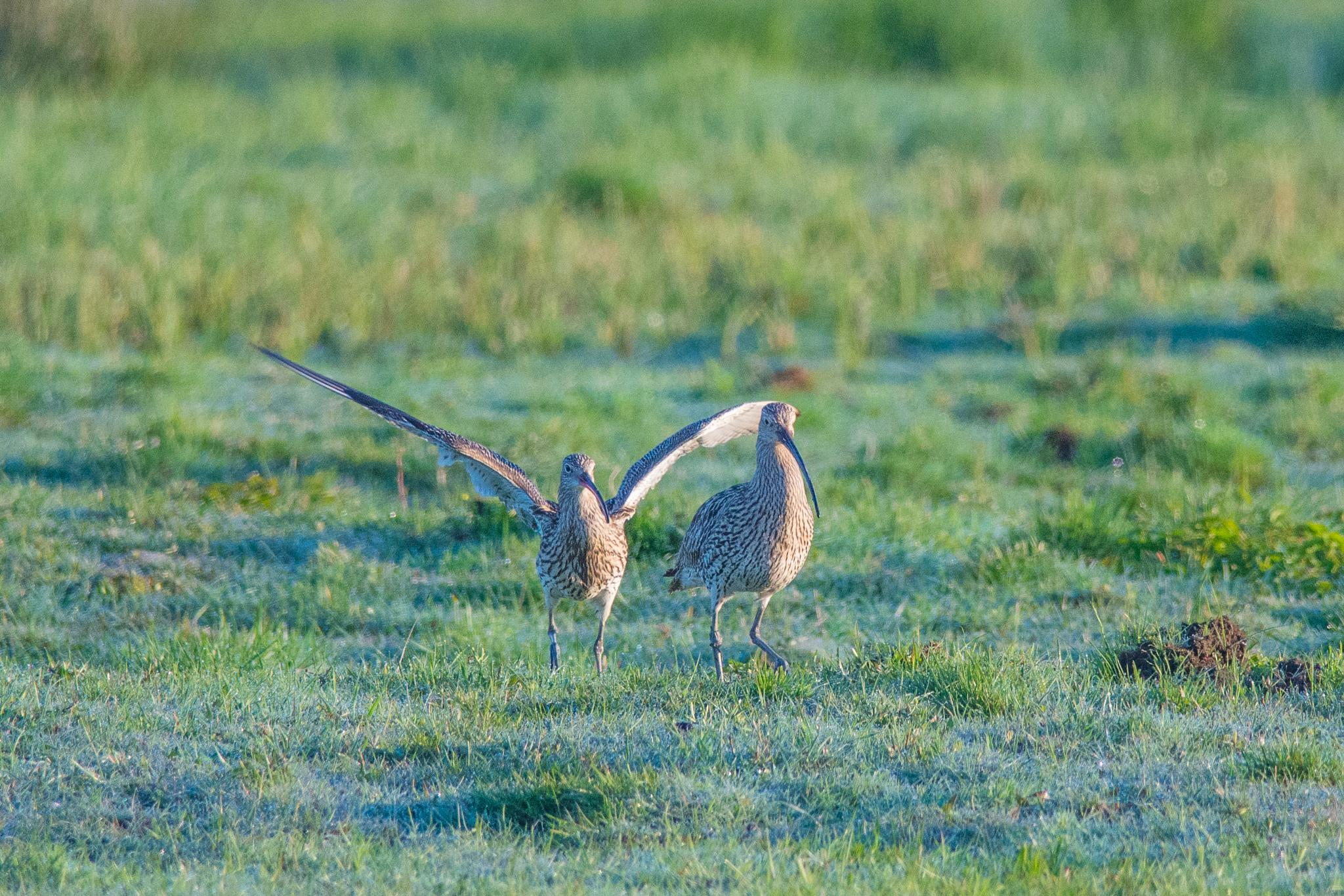 Courtship by Somebody is watching you