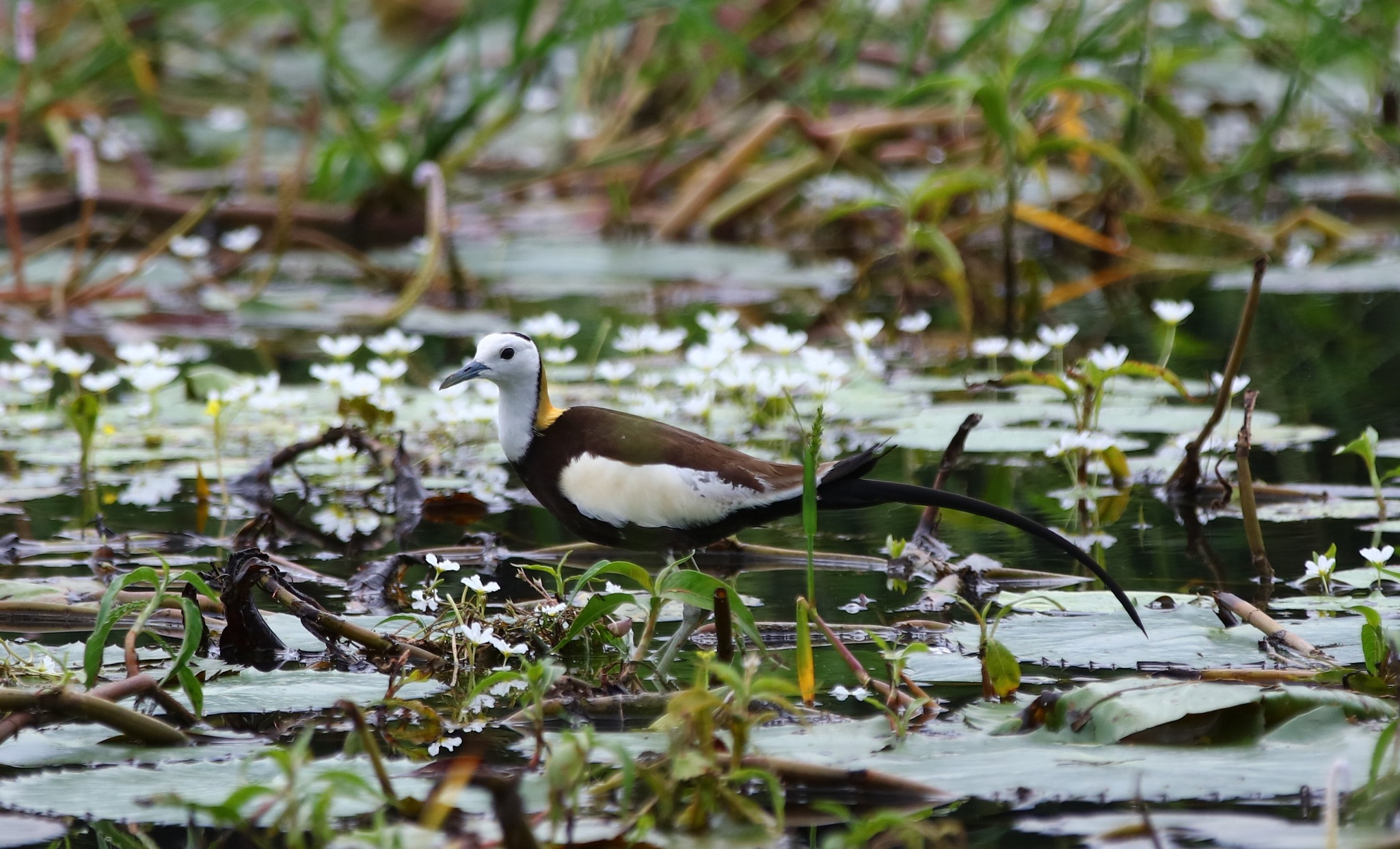 Pheasent-Tailed Jacana by pstroyer