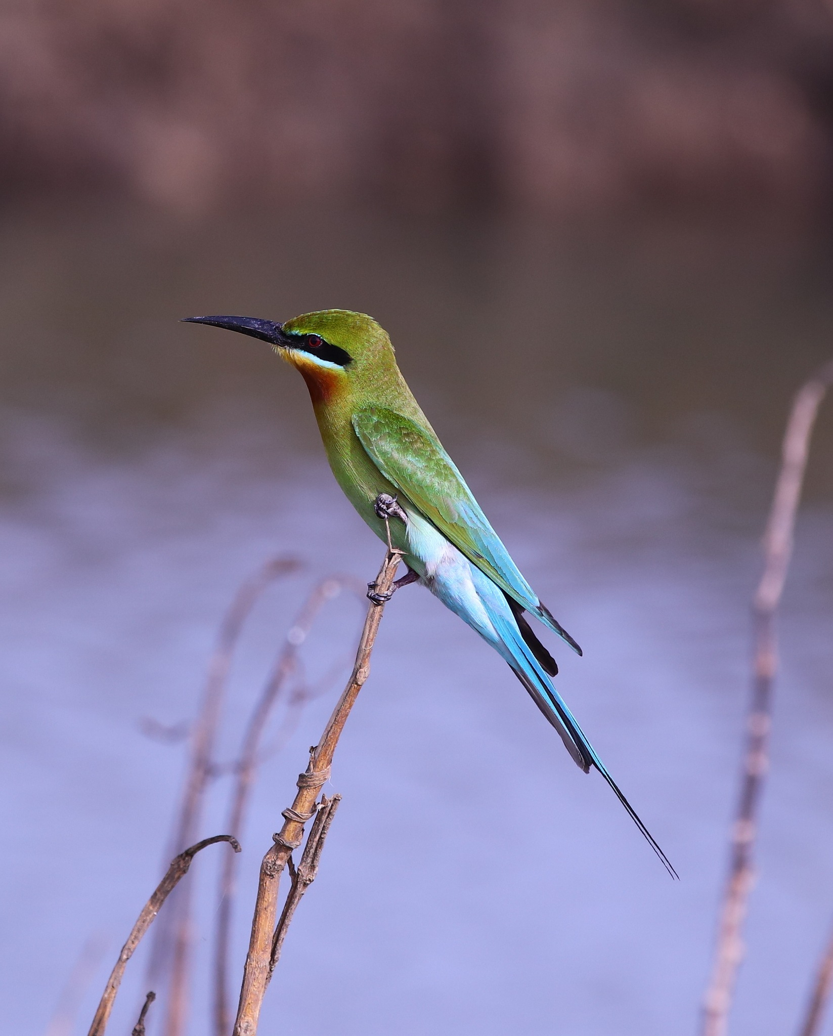 Blua Tailed Bee-eater by pstroyer