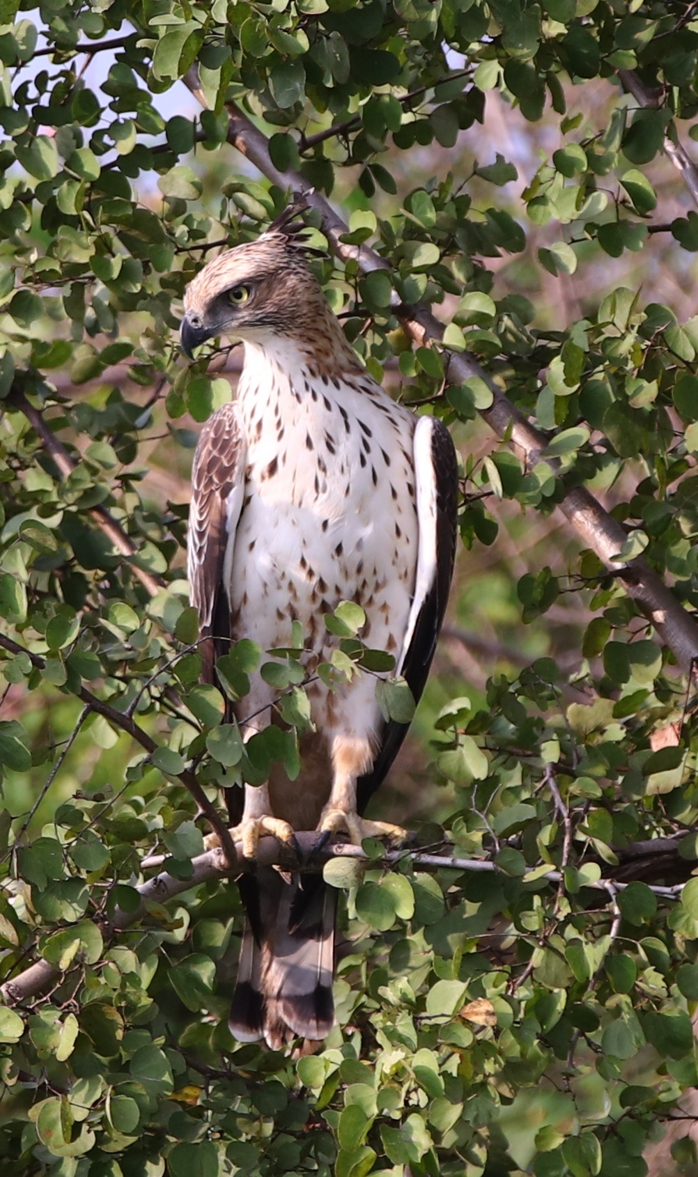 Crested Hawk-Eagle by pstroyer