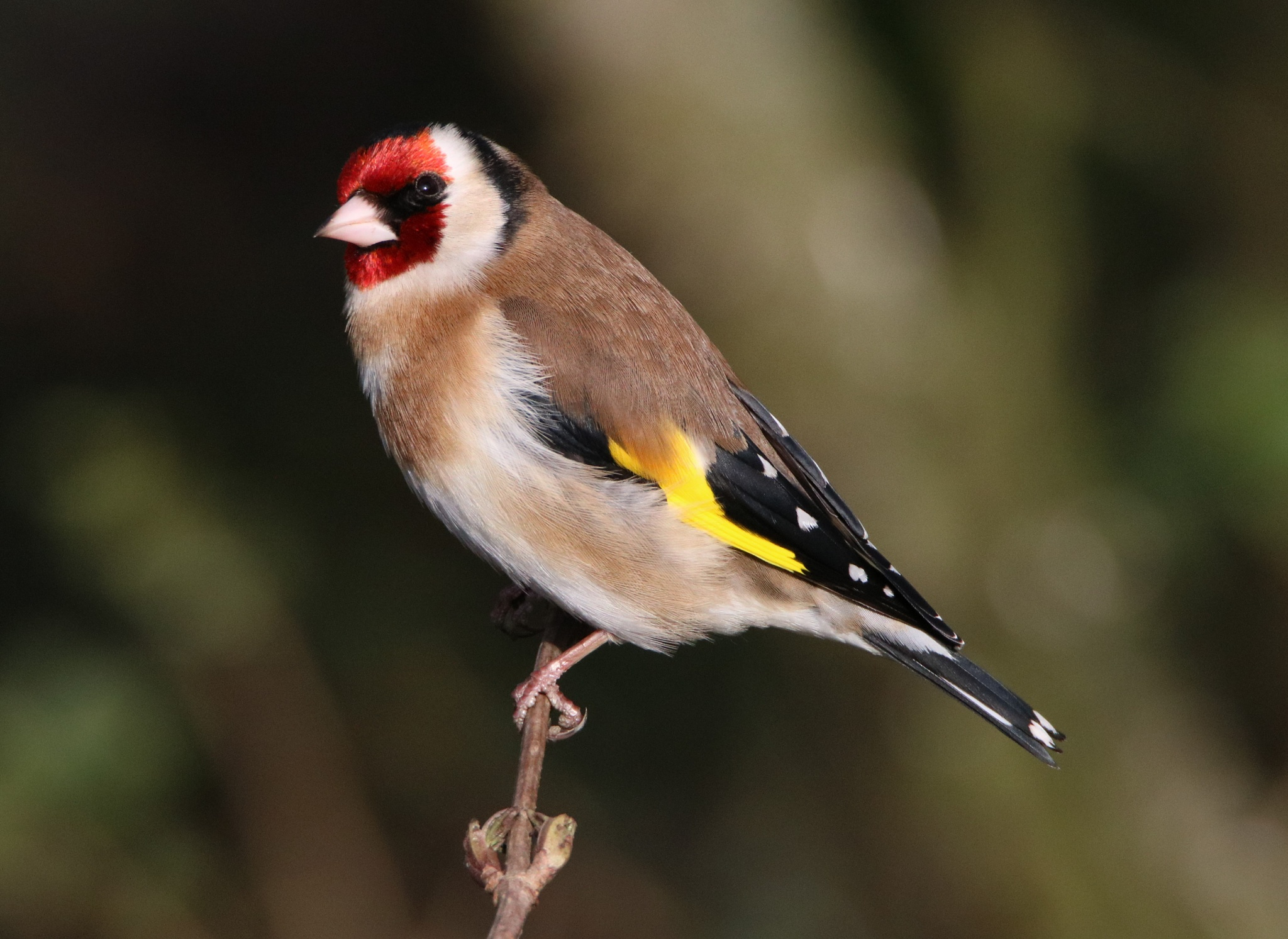 Goldfinch  by Dave Griffin Photography.
