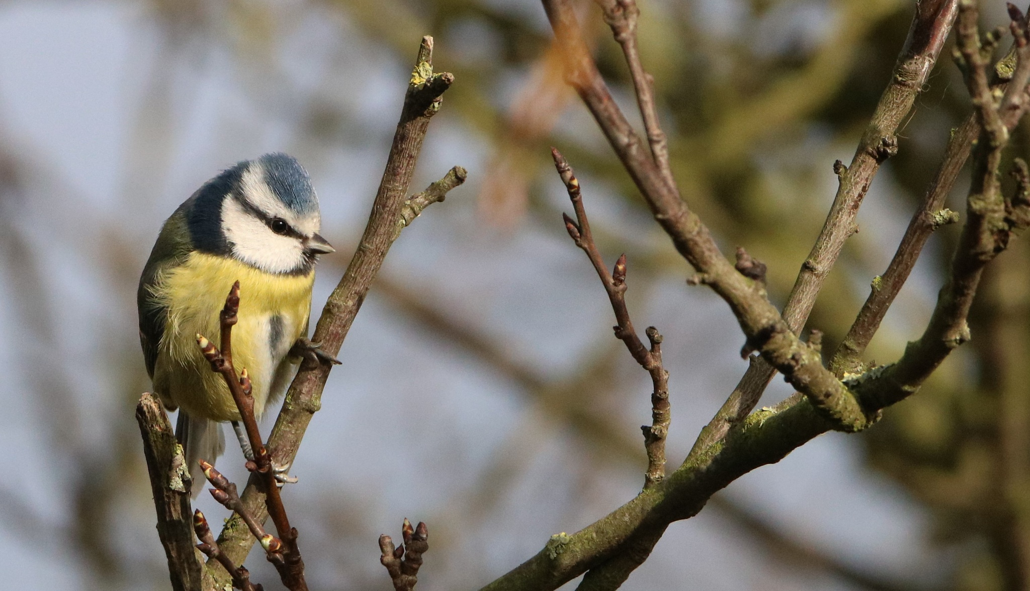 Blue Tit 2 by Dave Griffin Photography.