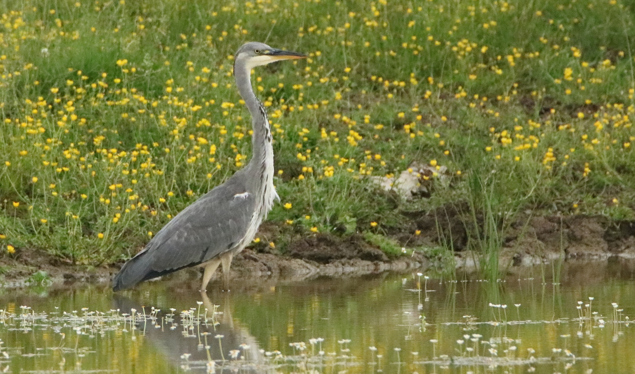Beautiful Grey Heron by Dave Griffin Photography.
