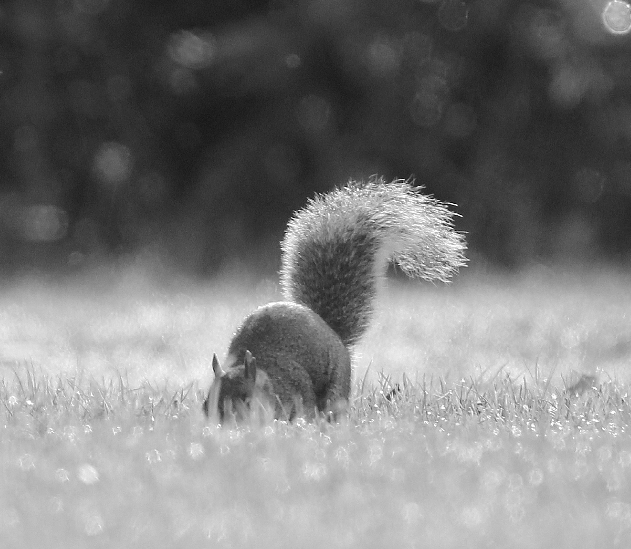Secret Squirrel by Dave Griffin Photography.