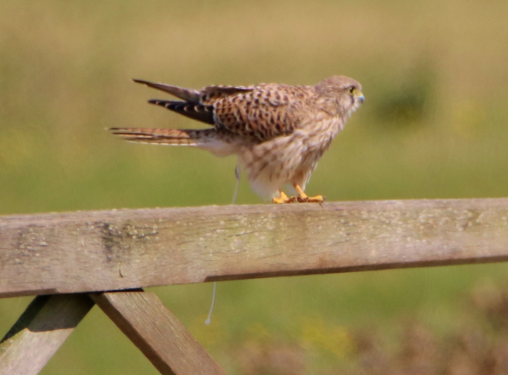 Shitting Kestrel. by Dave Griffin Photography.
