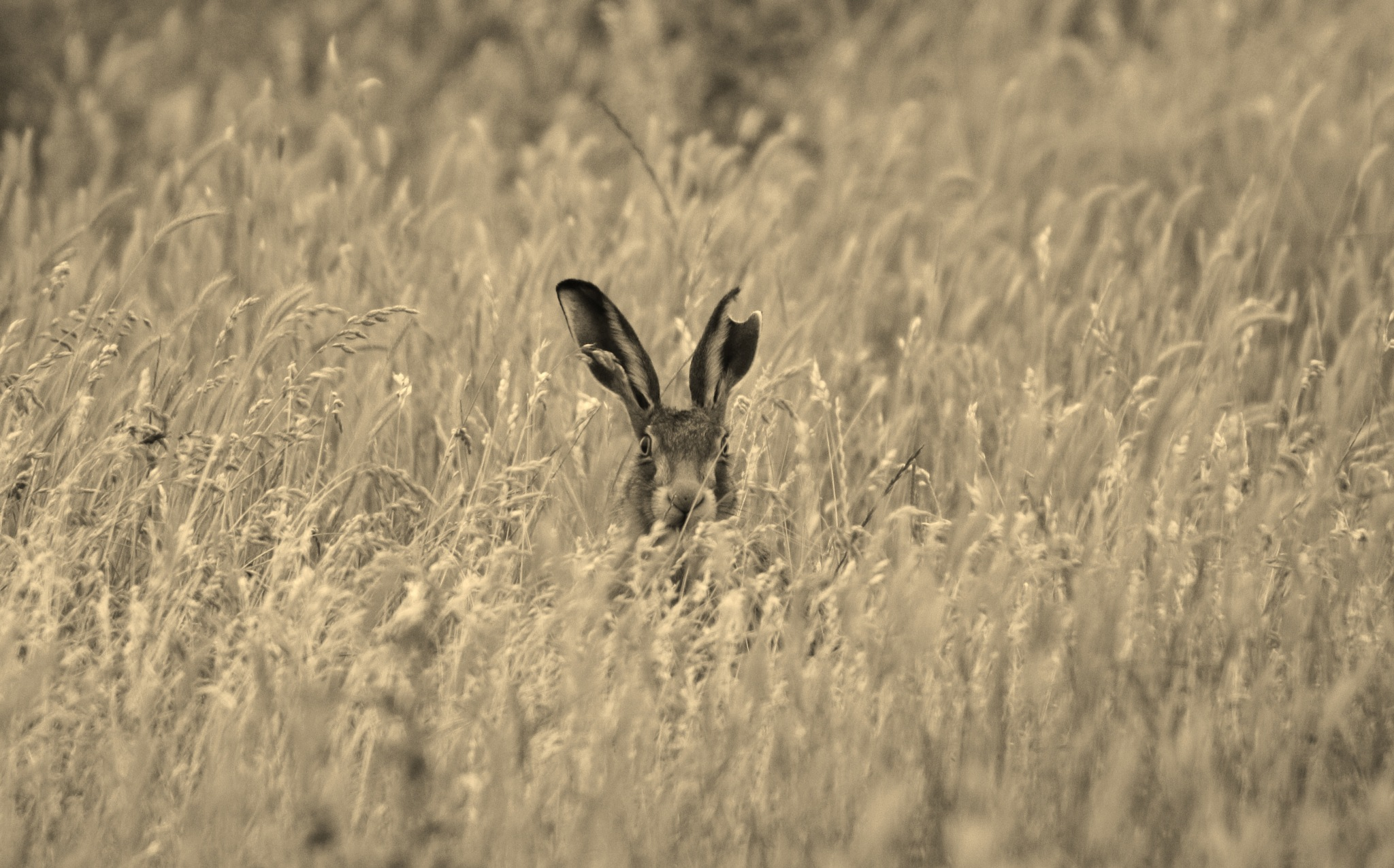 Bunny Half Ear. by Dave Griffin Photography.