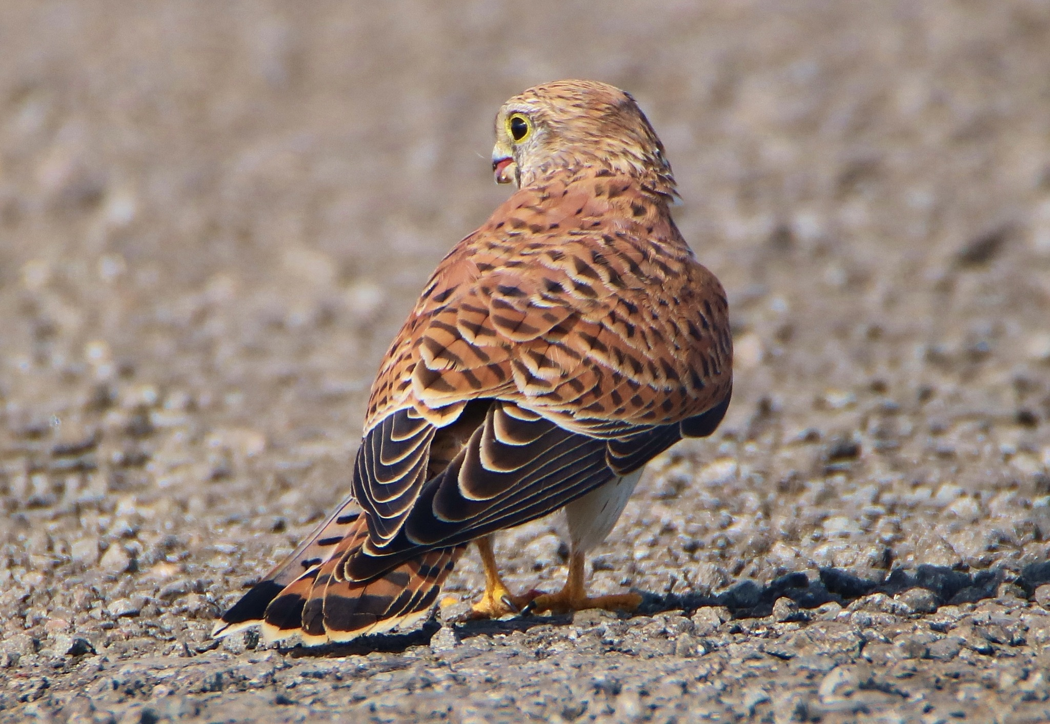 Hungry Kestrel by Dave Griffin Photography.