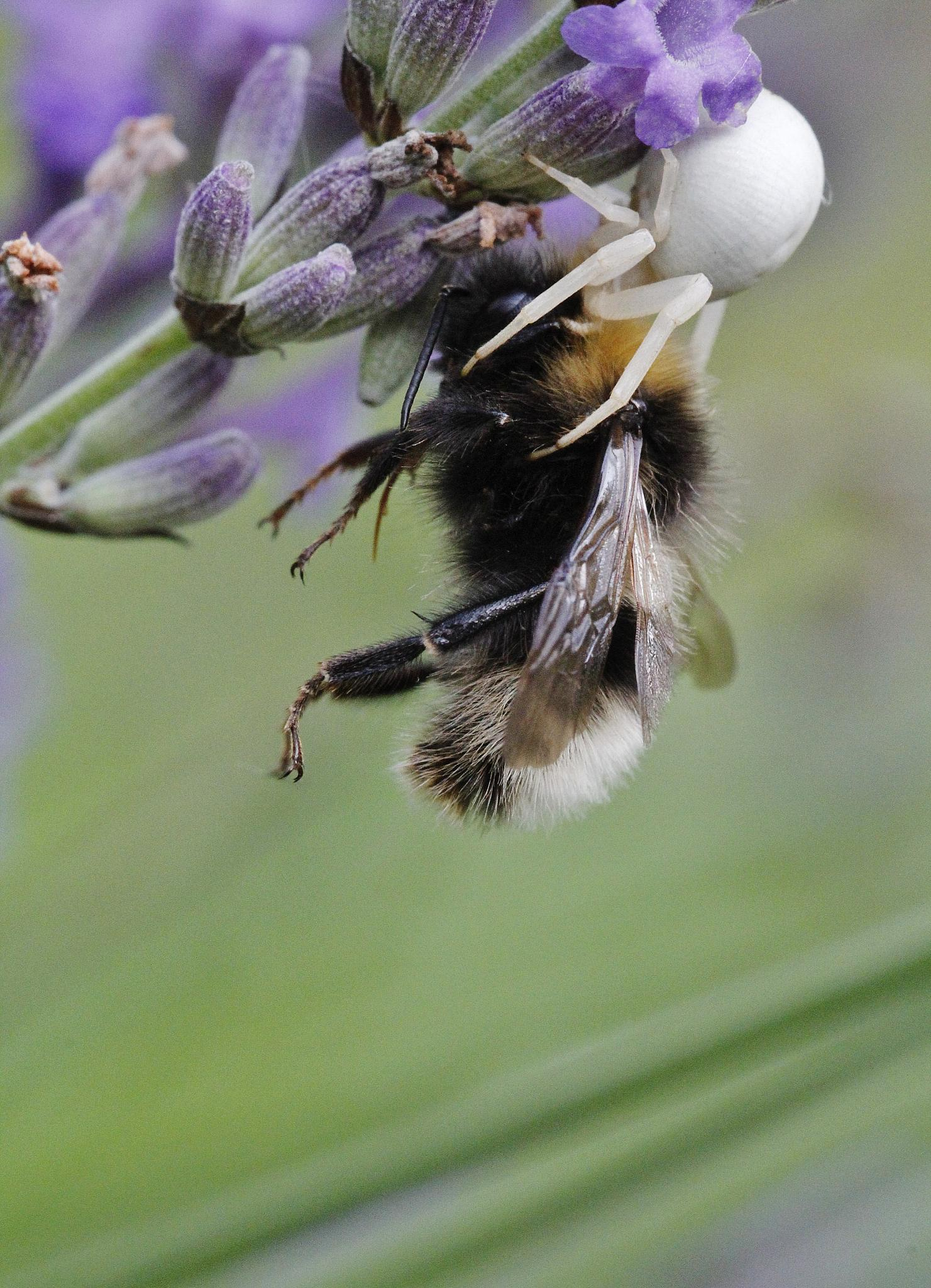 Bumble bee killed by a white spider by Janina Östling