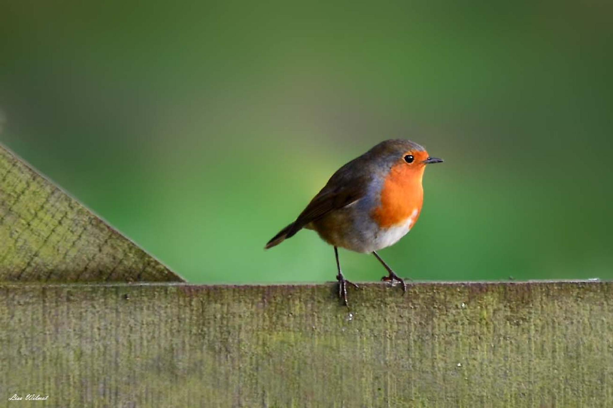 European Robin by Lisa Wilmot