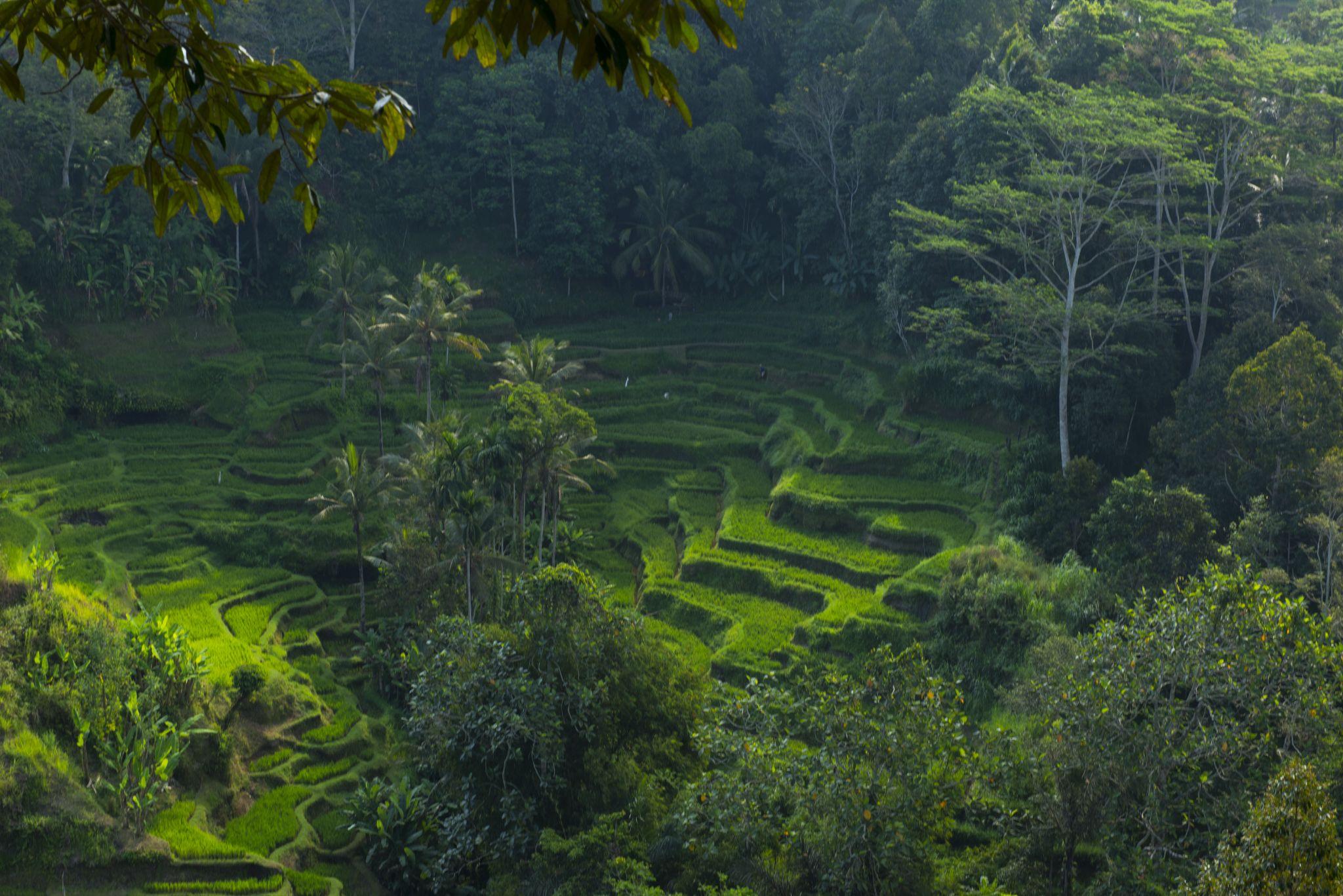 Paddy Field. Bali by eddylowck