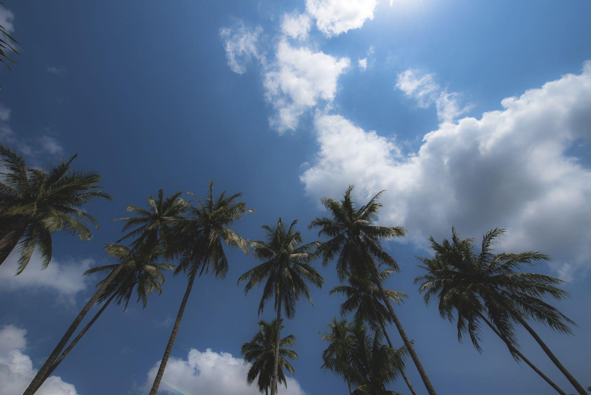 Coconut Trees by eddylowck