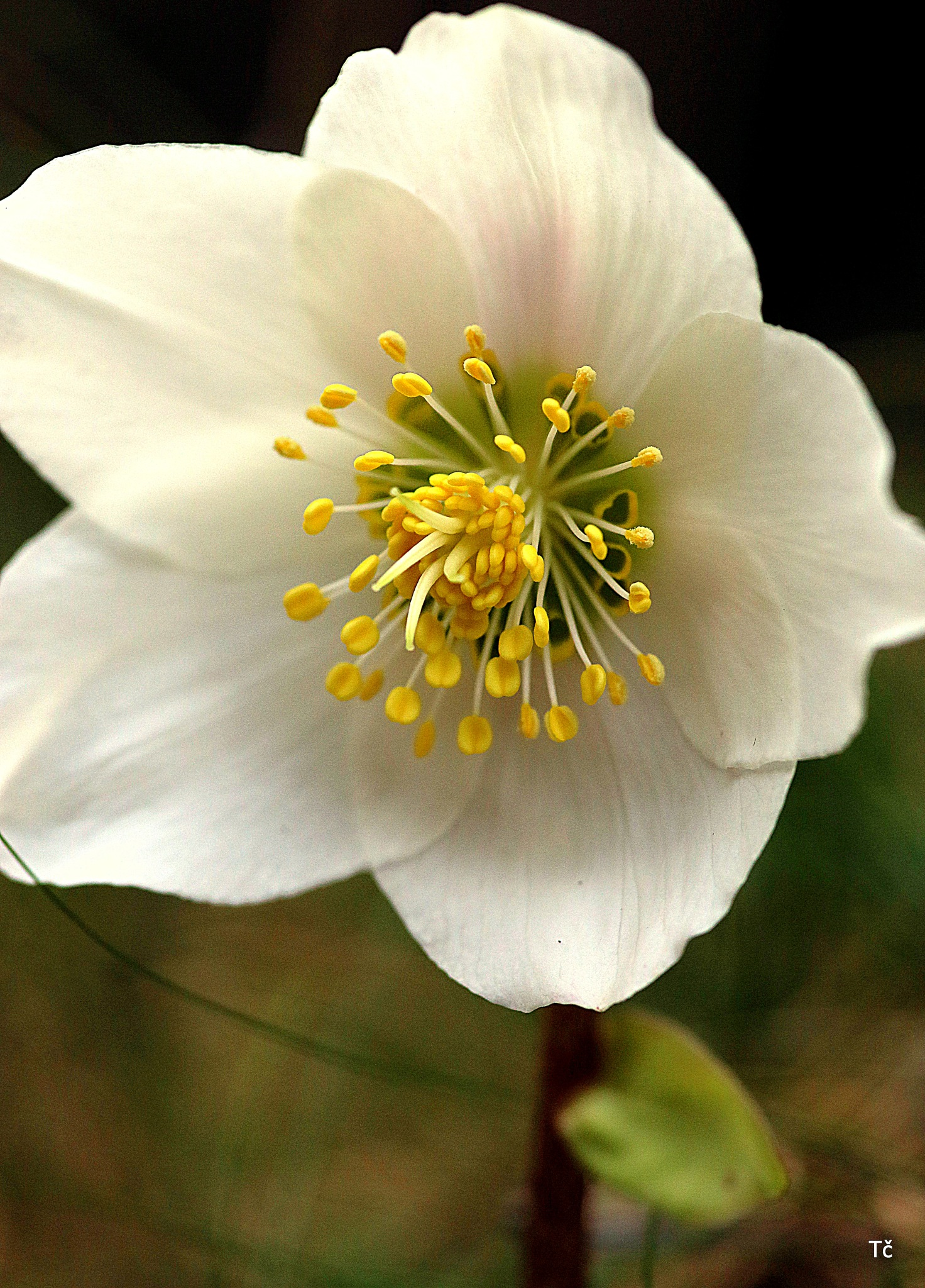 Forest hellebore in all its beauty by leopold.brzin