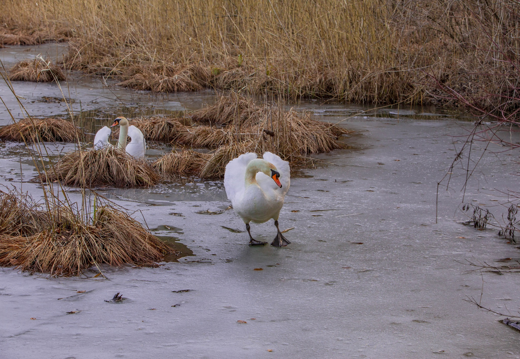 Photo in Animal #spring #winter #swans #ice