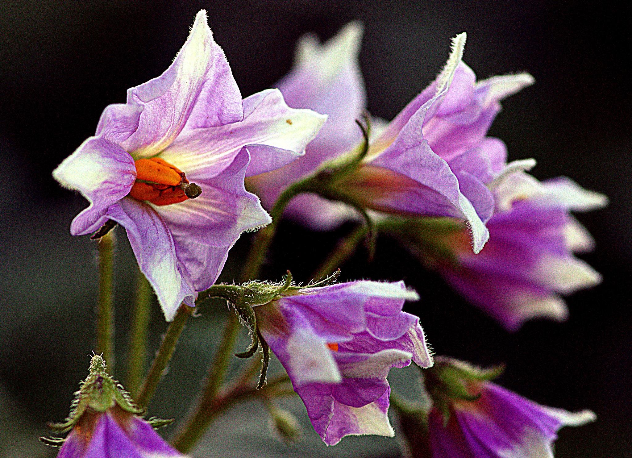 Believe it or not - potato flower by leopold.brzin