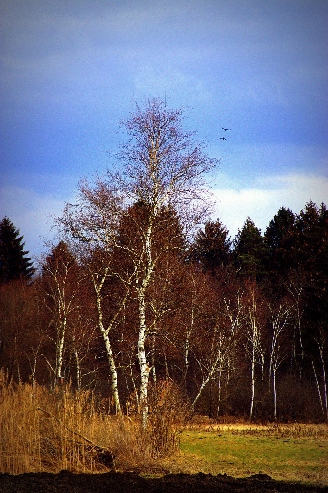 Photo in Nature #nature #landscape #birches