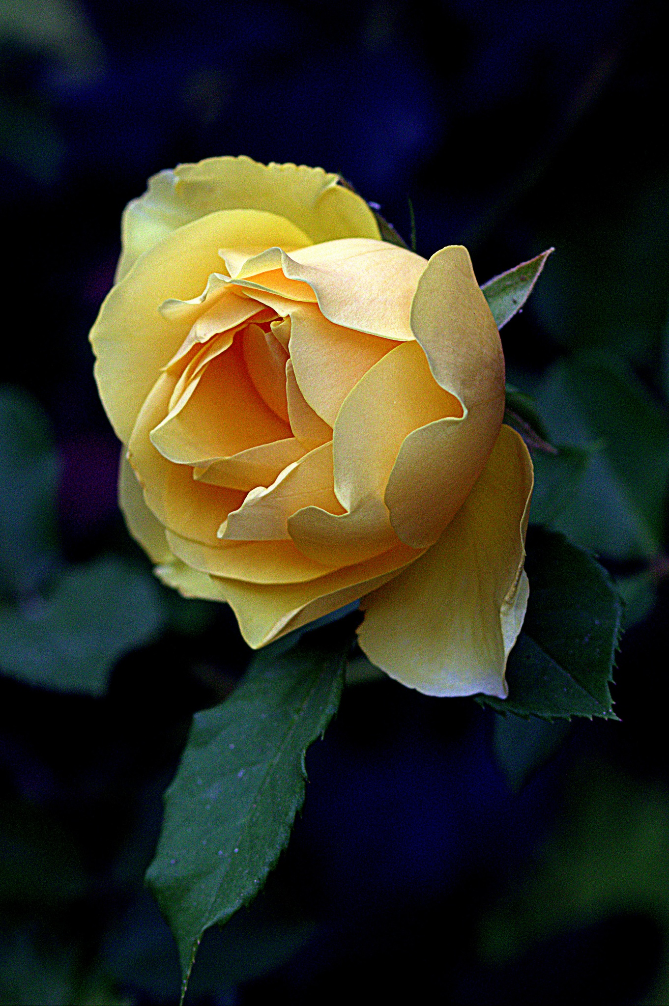 Since so many beautiful roses, another by leopold.brzin