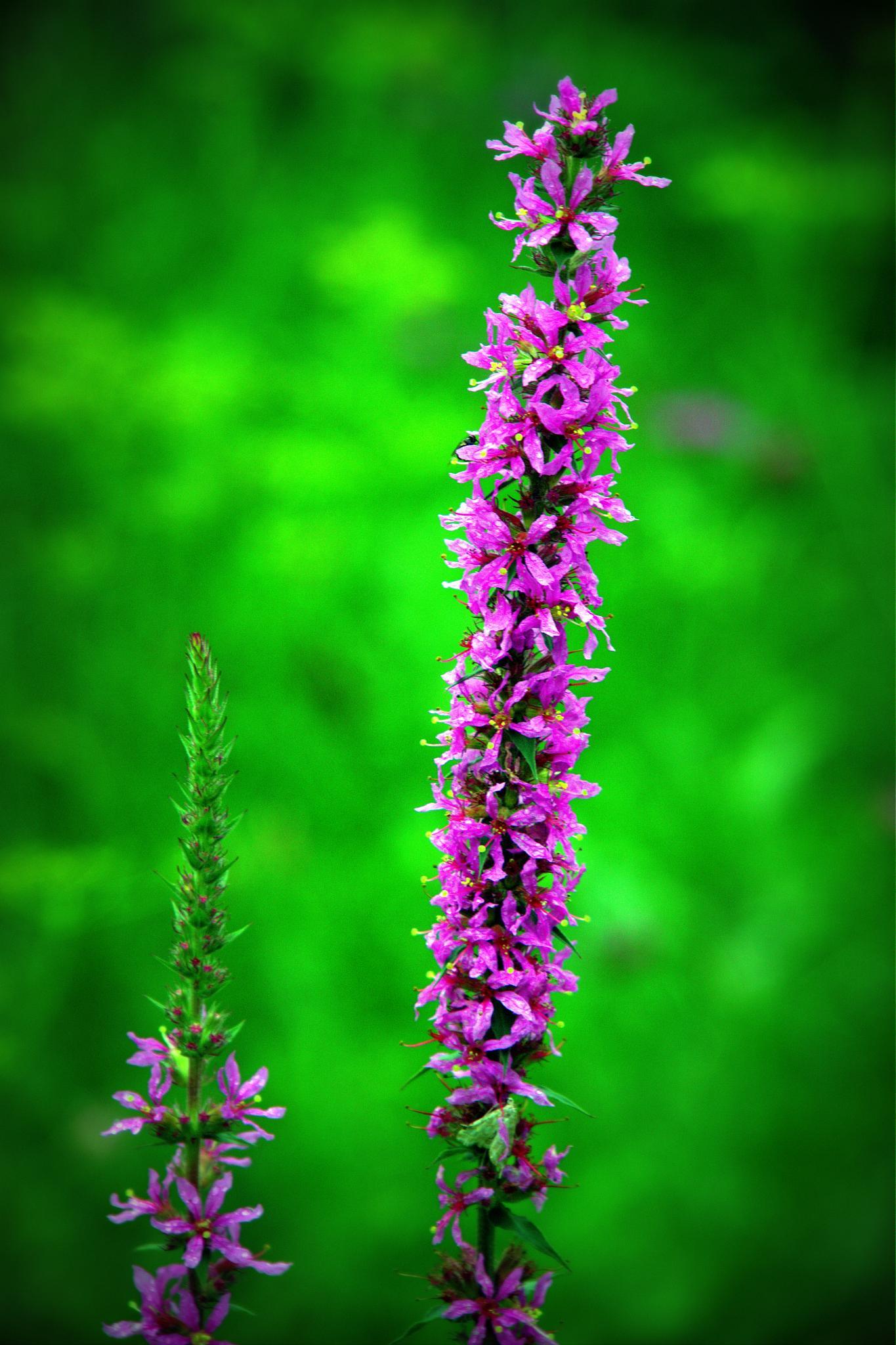 Meadow flower by leopold.brzin