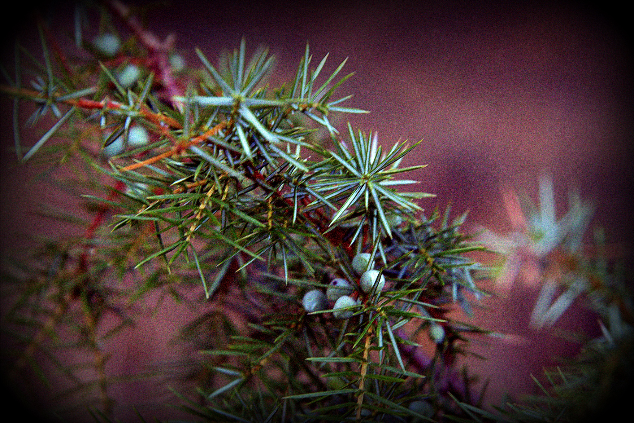 Forest walk...juniper with berries by leopold.brzin