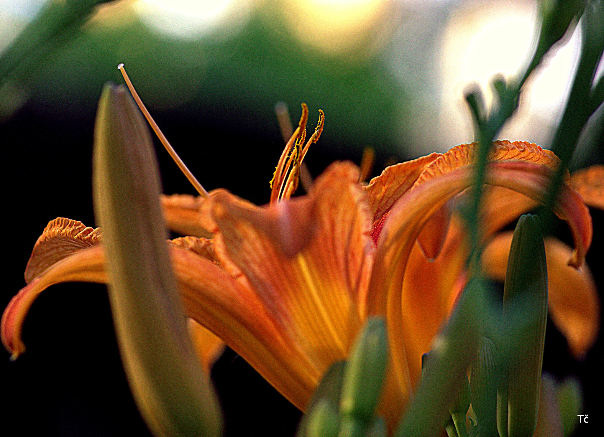 Lilies fall has always been the most beautiful and desirable flowers by leopold.brzin