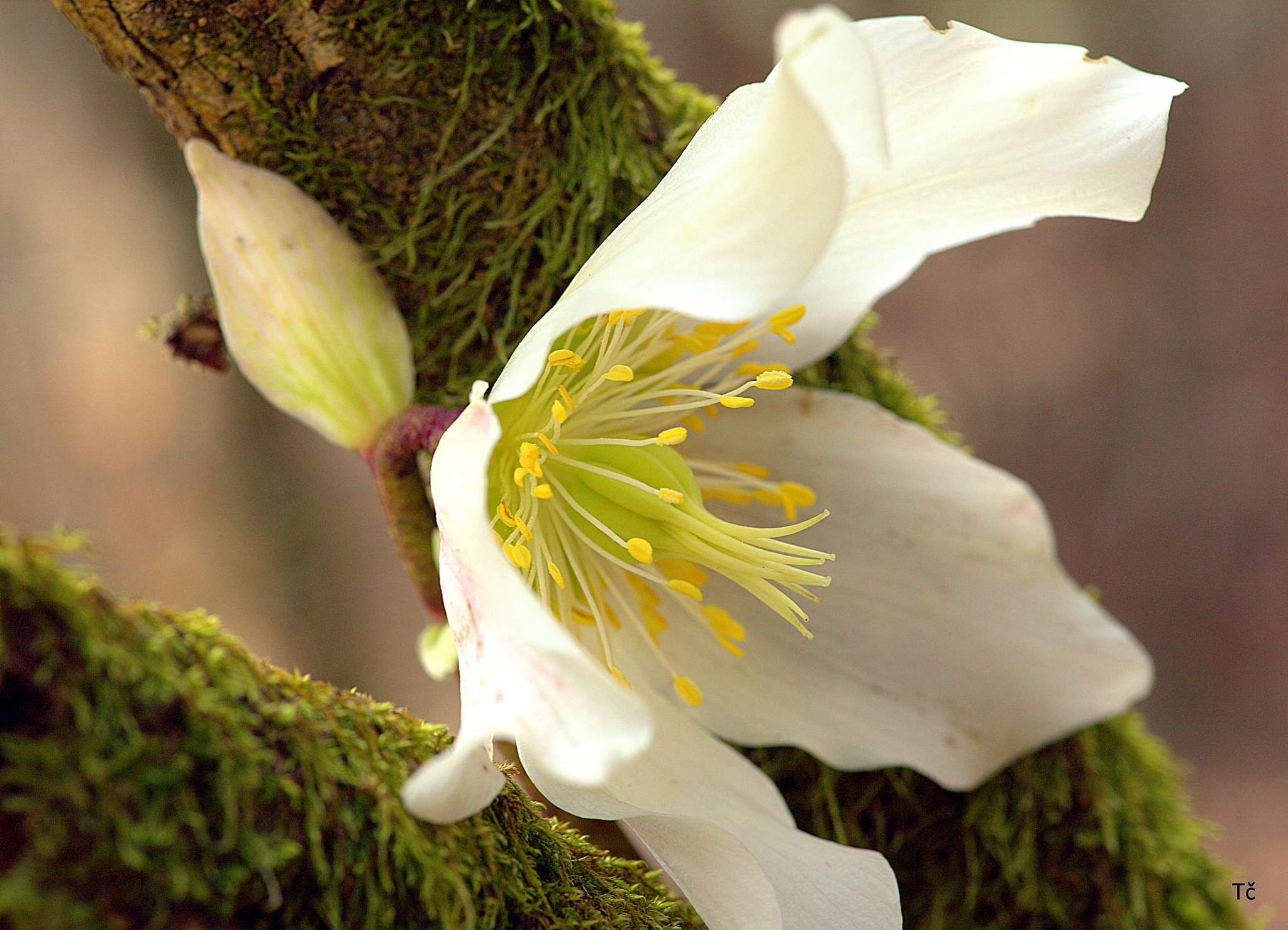 Forest hellebore by leopold.brzin