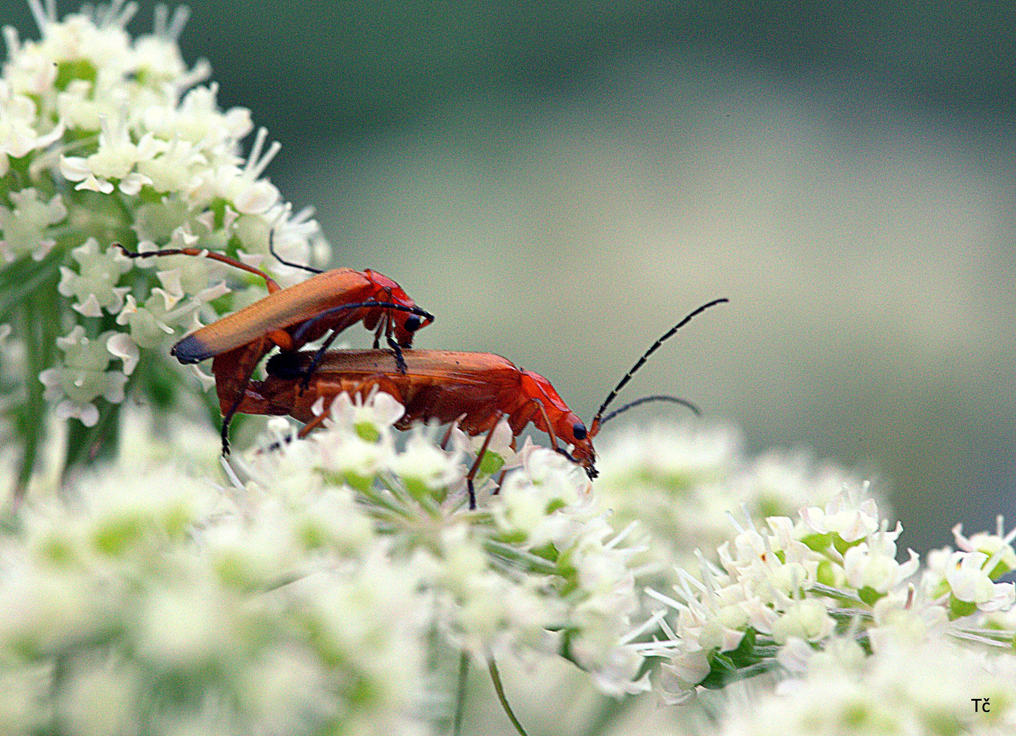Longhorn beetle obviously take good care of themselves by leopold.brzin