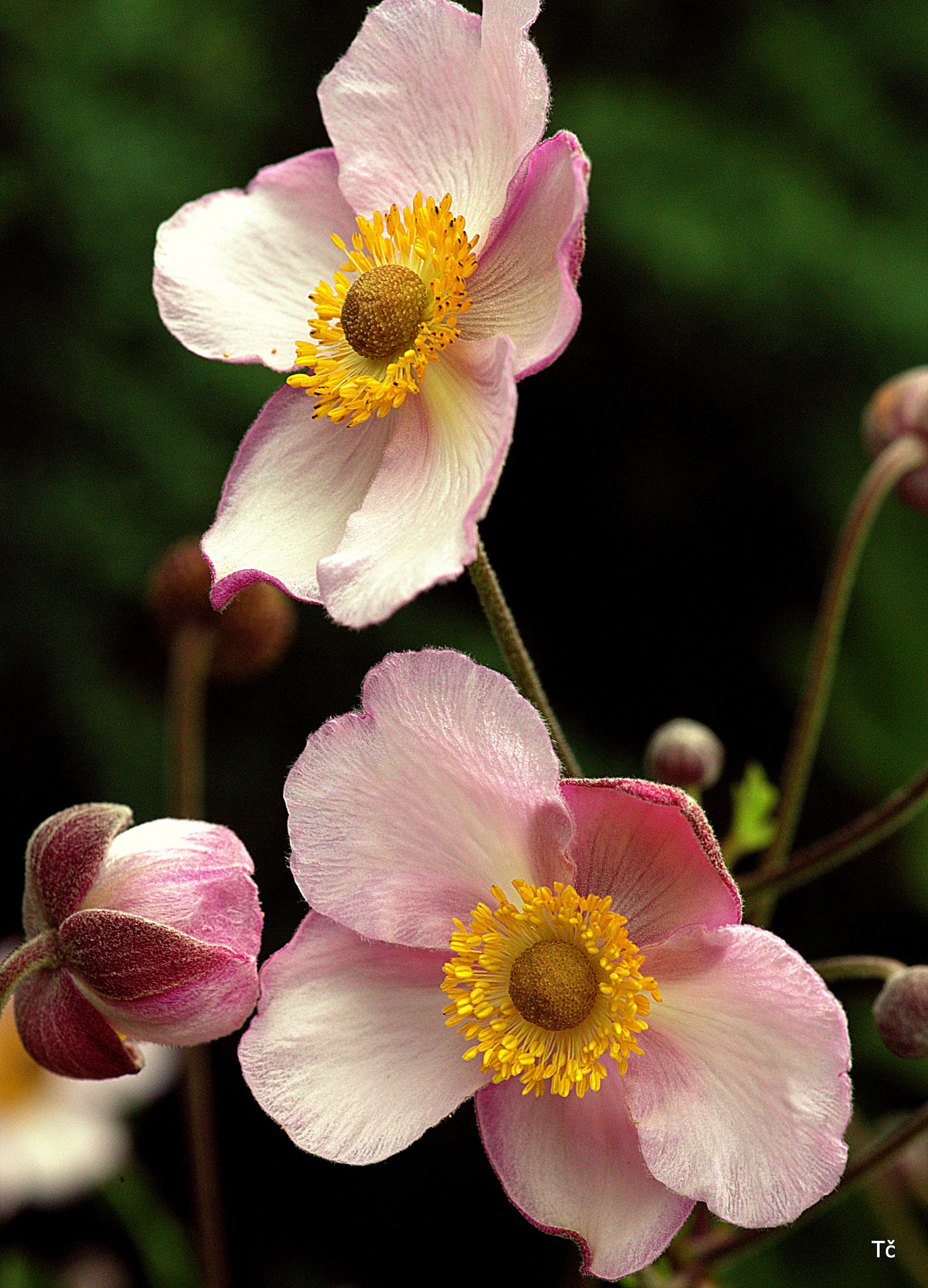 In some places, the anemones were hurrying this year by leopold.brzin