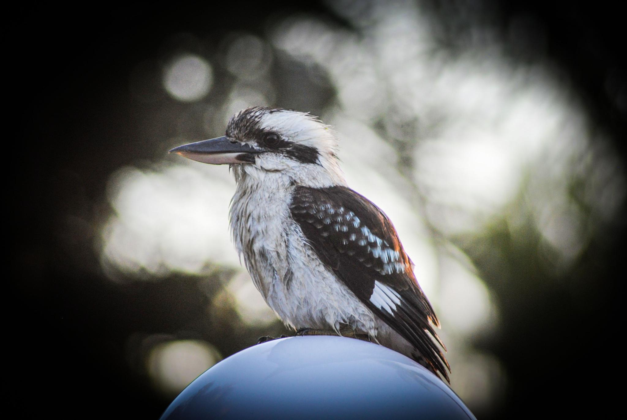 Kookaburra by Petra van Gend