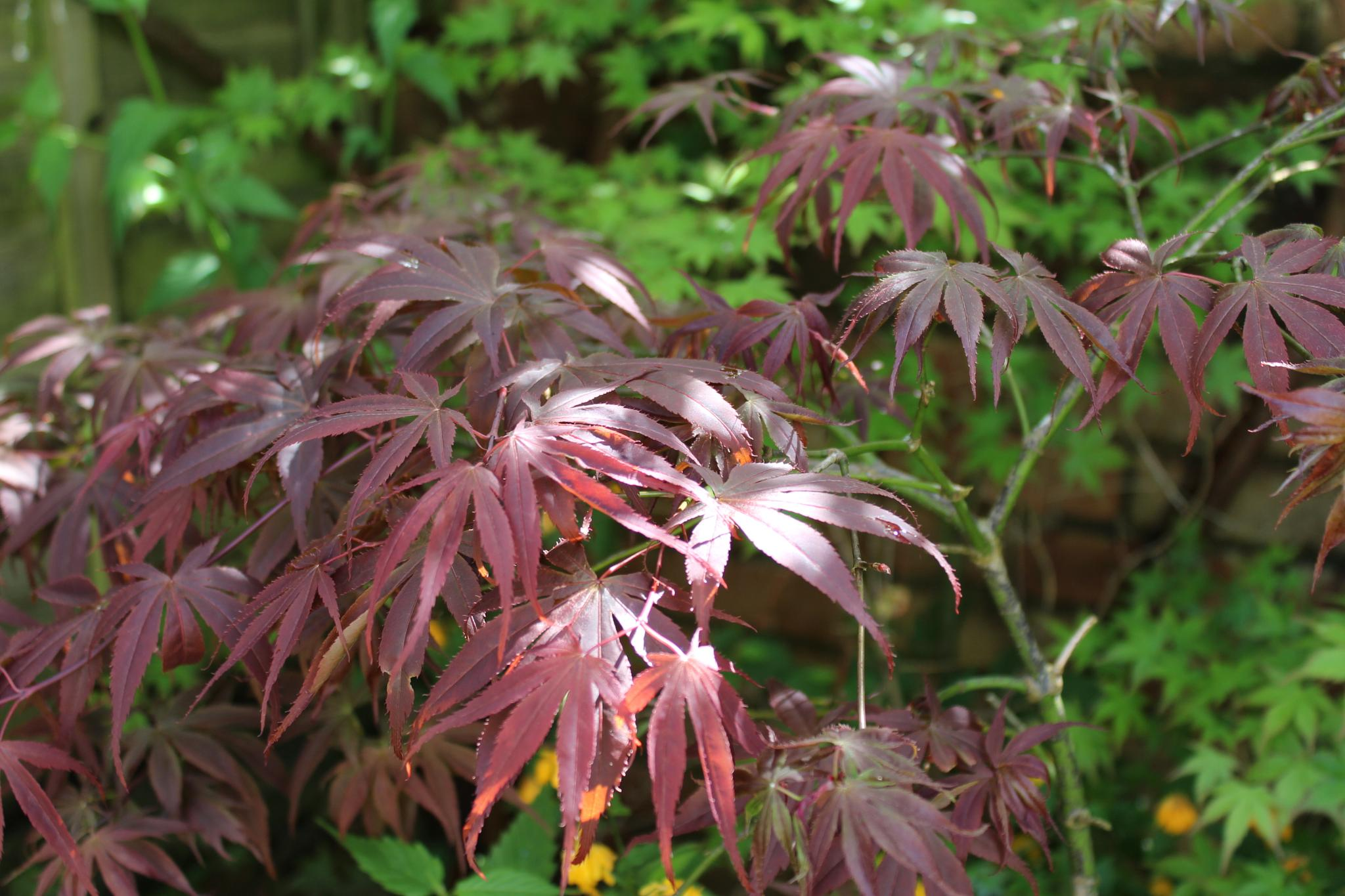 Trees: Acer Corner by drgeorgebaileybailey8