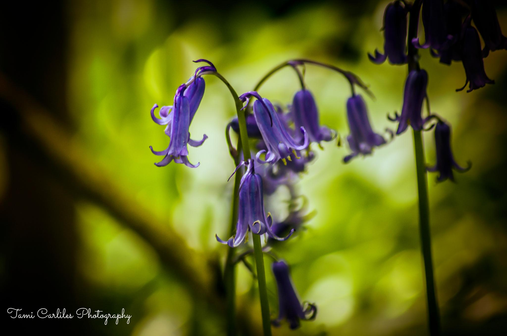 Photo in Nature #blubells #beautiful #blue #shady #magicofnature