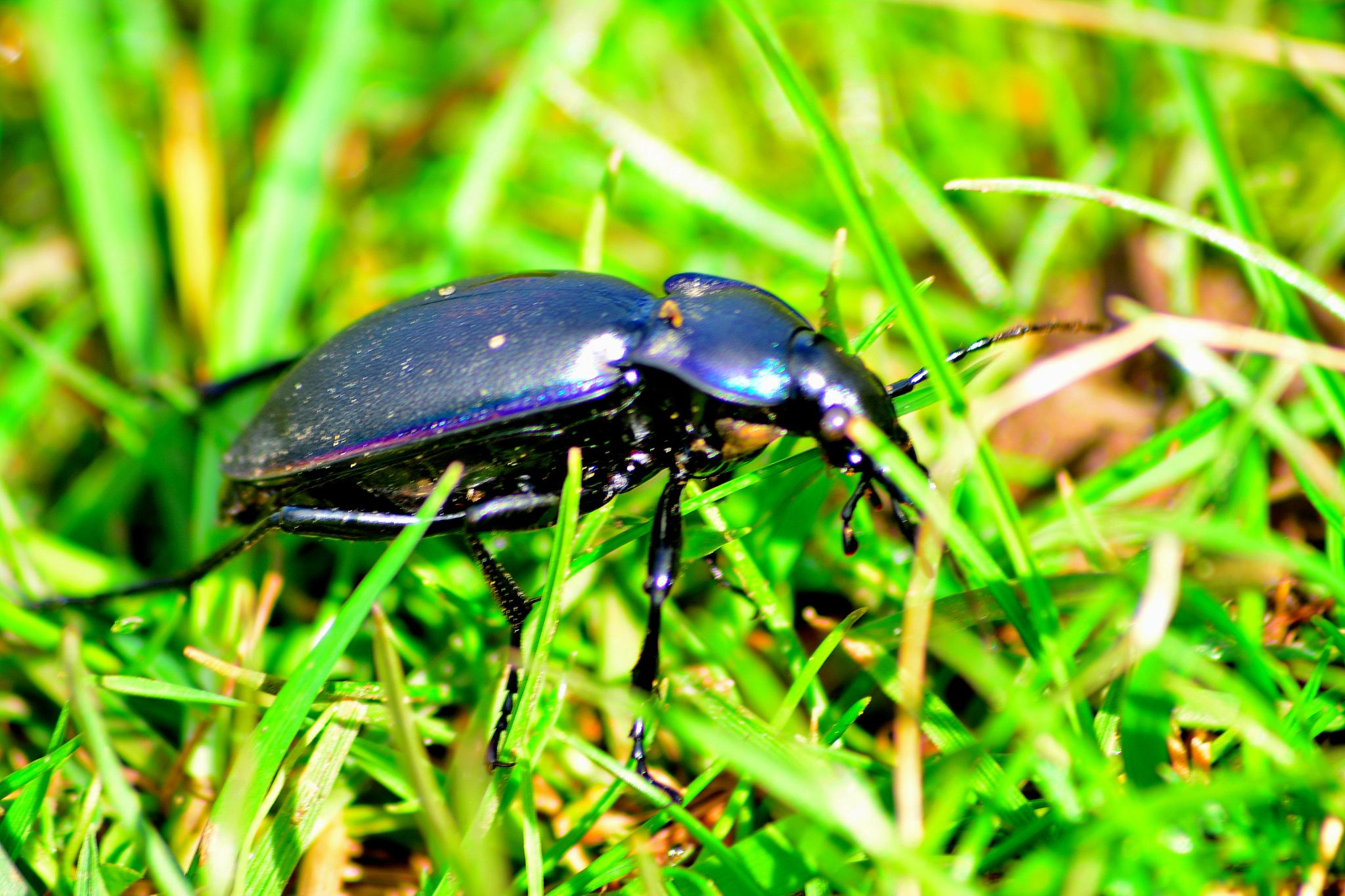 Black Beetle in the grass by tim.wells.79