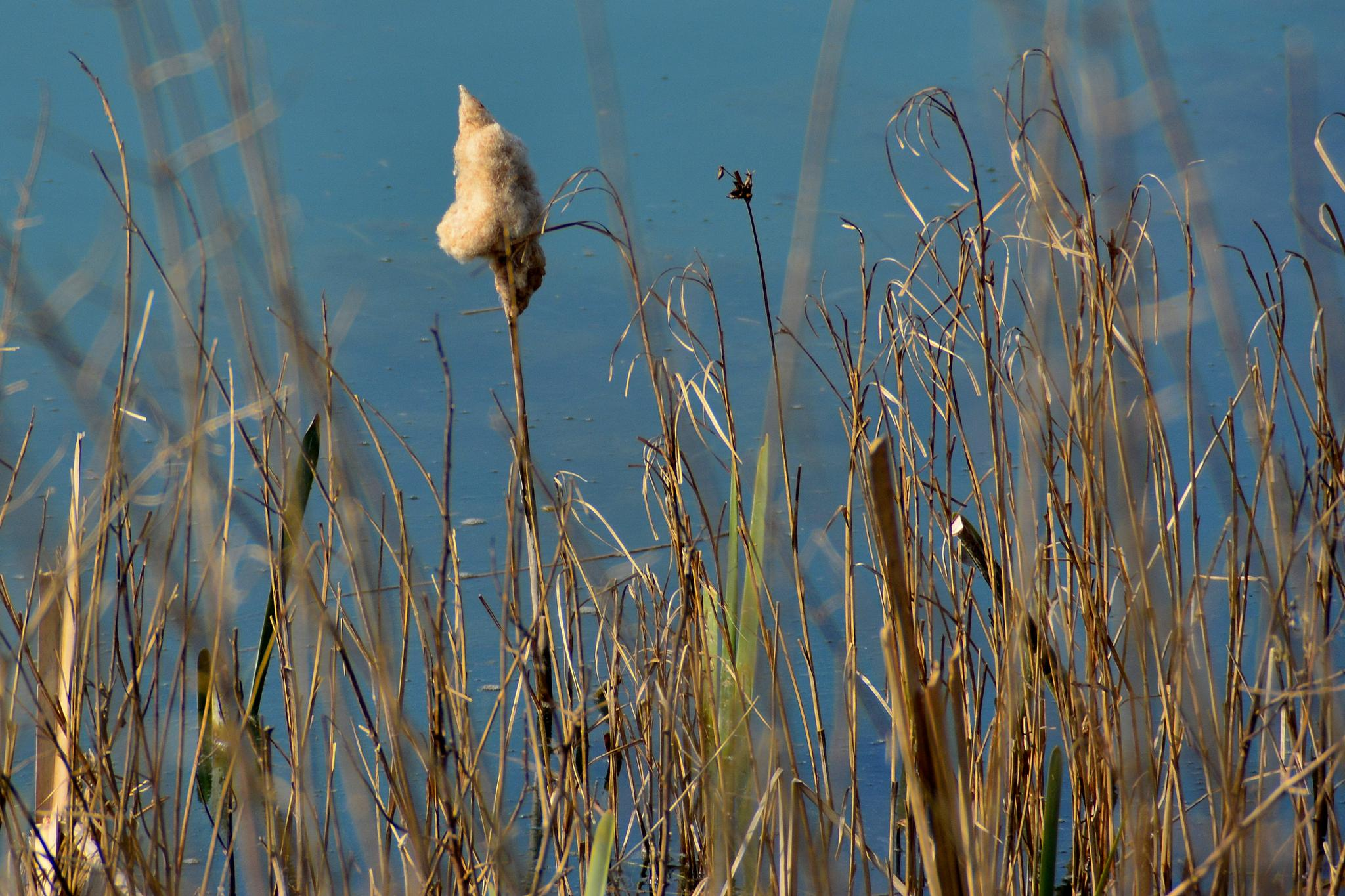 Cotton Top Reed by tim.wells.79