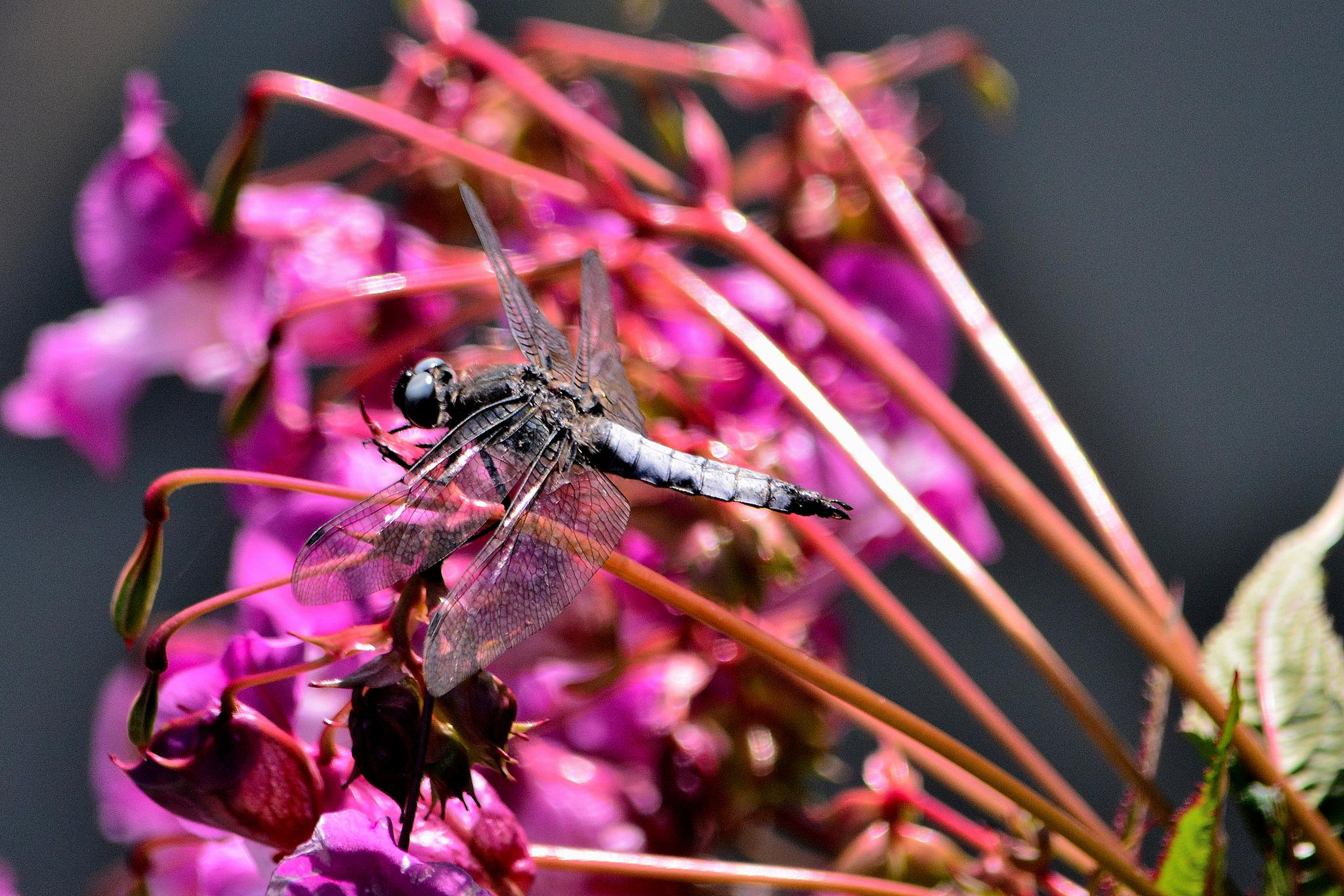 Grey Dragonfly by tim.wells.79