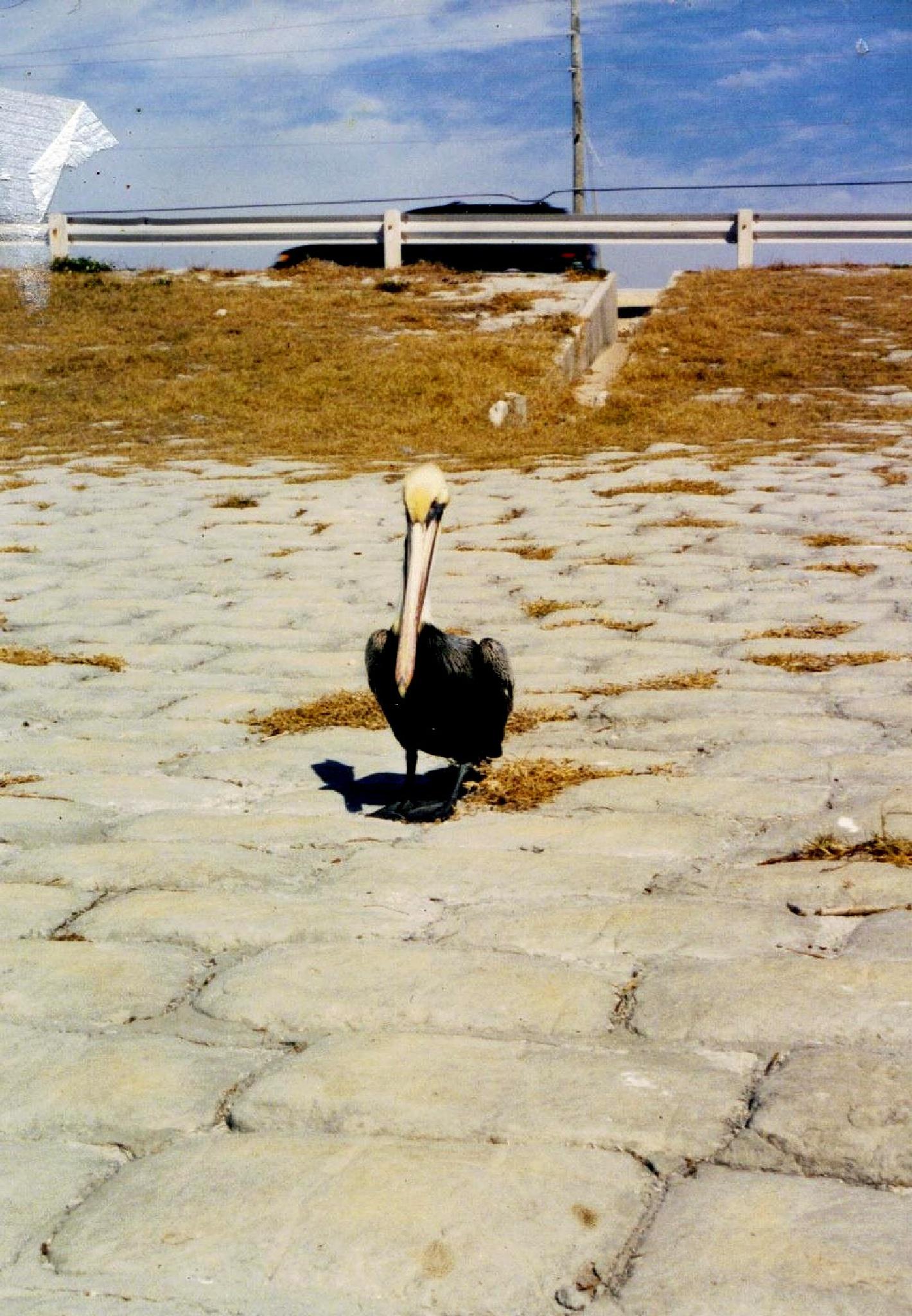 Florida Pelican by tim.wells.79