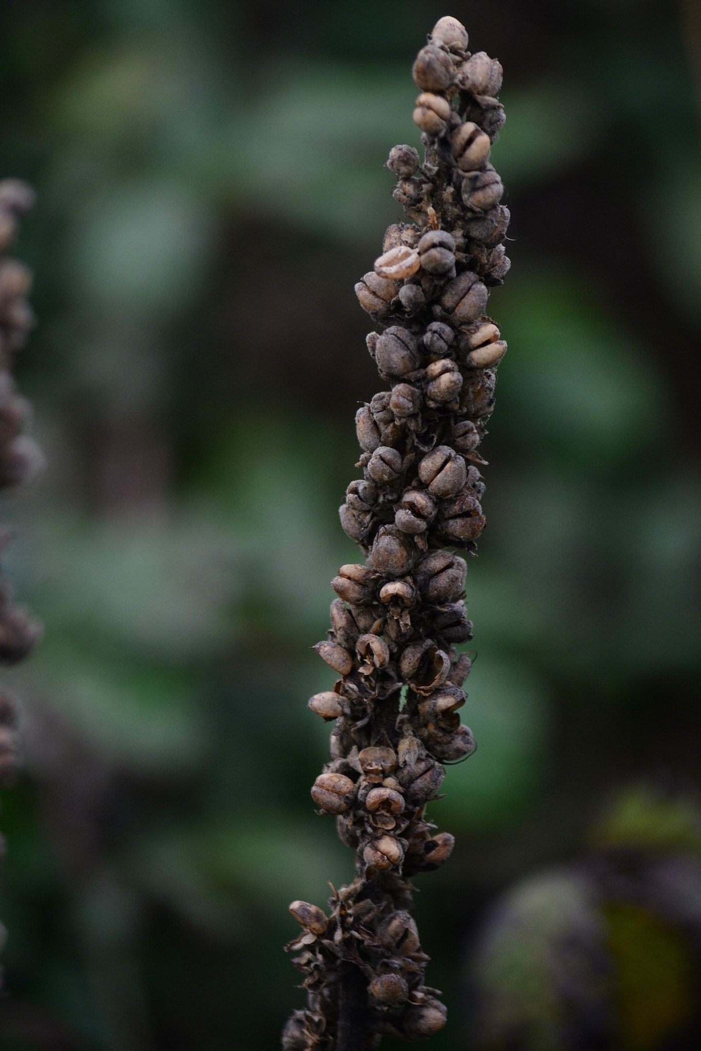 Puffed Wheat Plant? by tim.wells.79