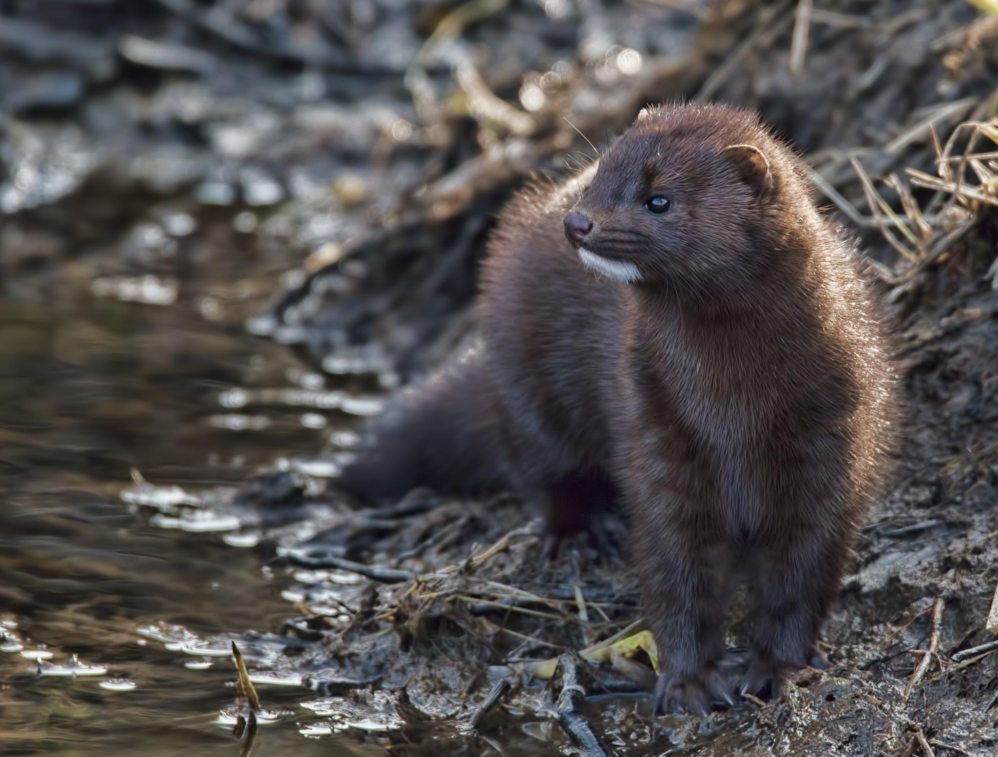 Mink searching for food. by Jörgen Lindgren