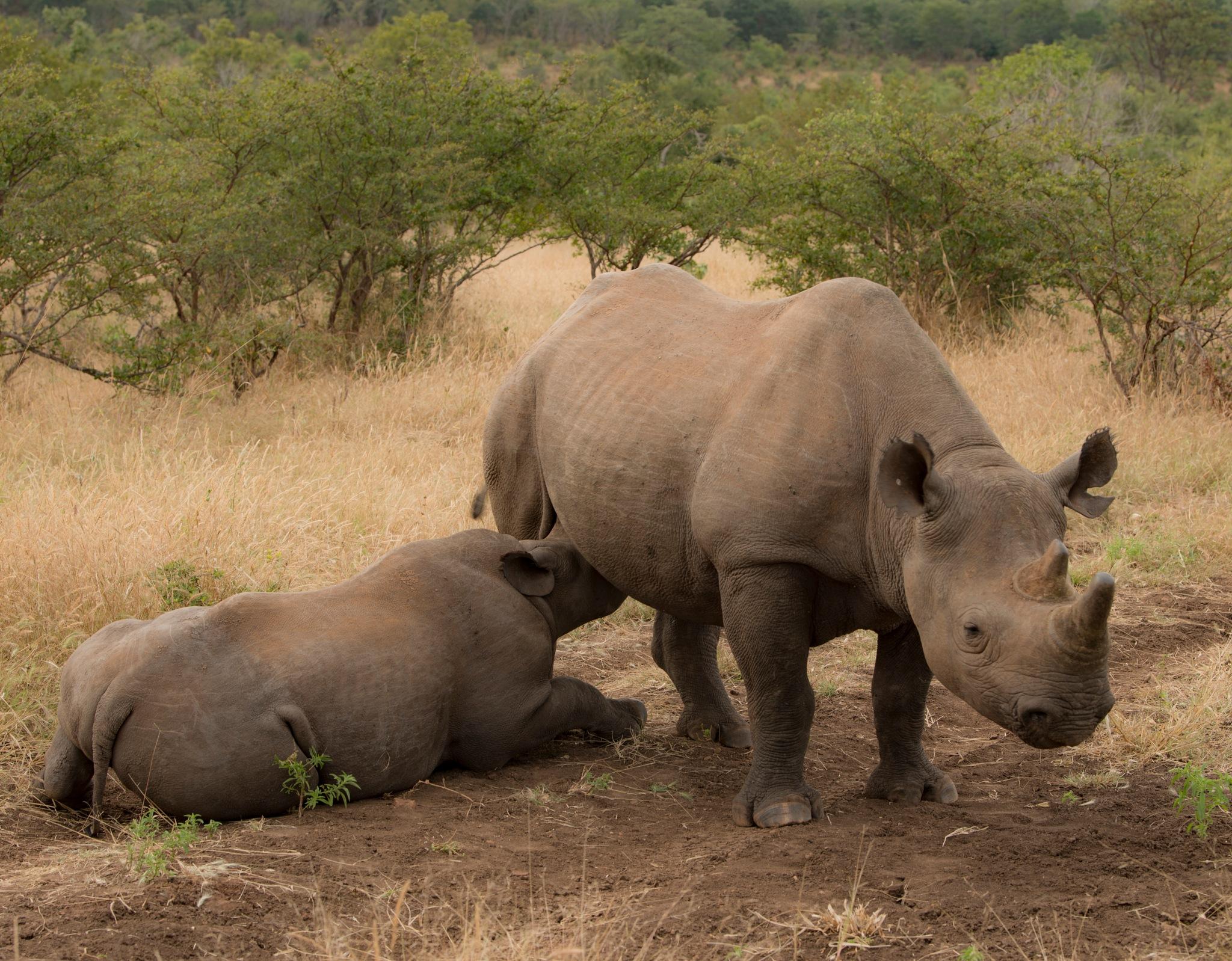 Black rhino by Jörgen Lindgren